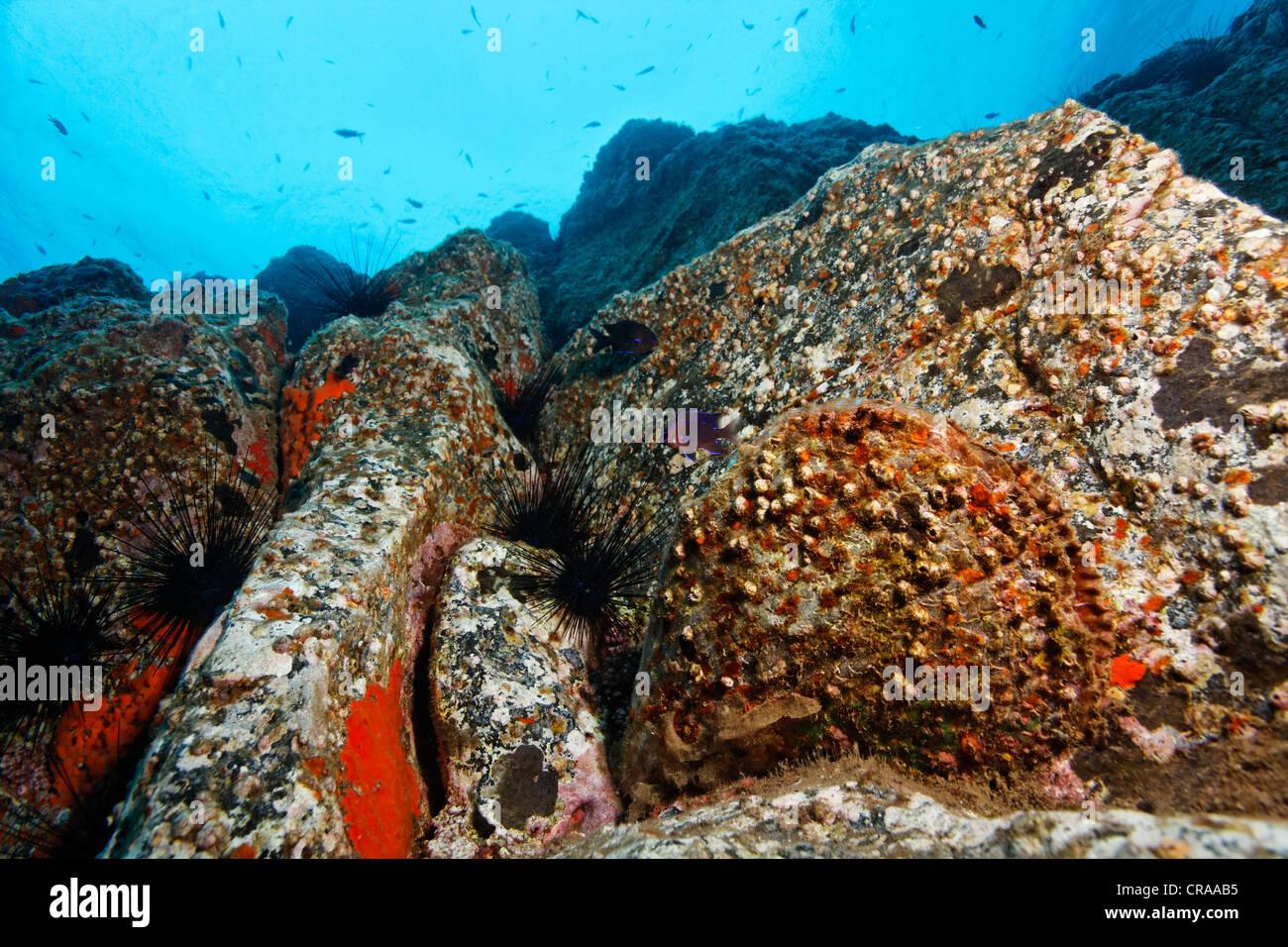 Penna ruvida Shell (Pinna rudis), Acorn Barnacles (Balanus trigonus), rocce, rocky bocchetta a lancia, Madeira, Immagini Stock