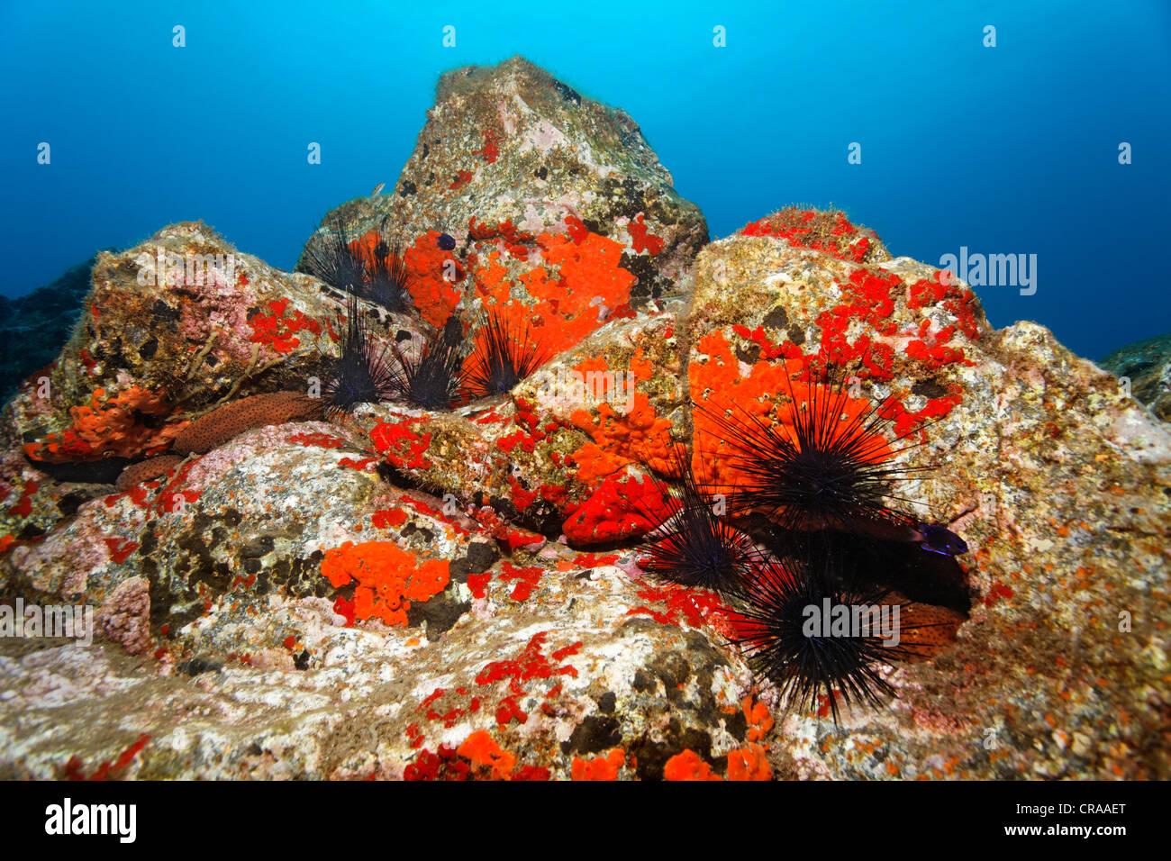 Variabile di cetrioli di mare (Holothuria sanctori), Comune (Spugna Crambe crambe), marrone-rosso Hatpin Ricci (Centrostephanus Immagini Stock