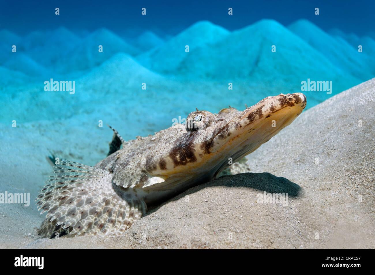 Tappeto testa piana (Papilloculiceps longiceps) giacente su una zona collinare dal fondale sabbioso, Makadi Bay, Immagini Stock