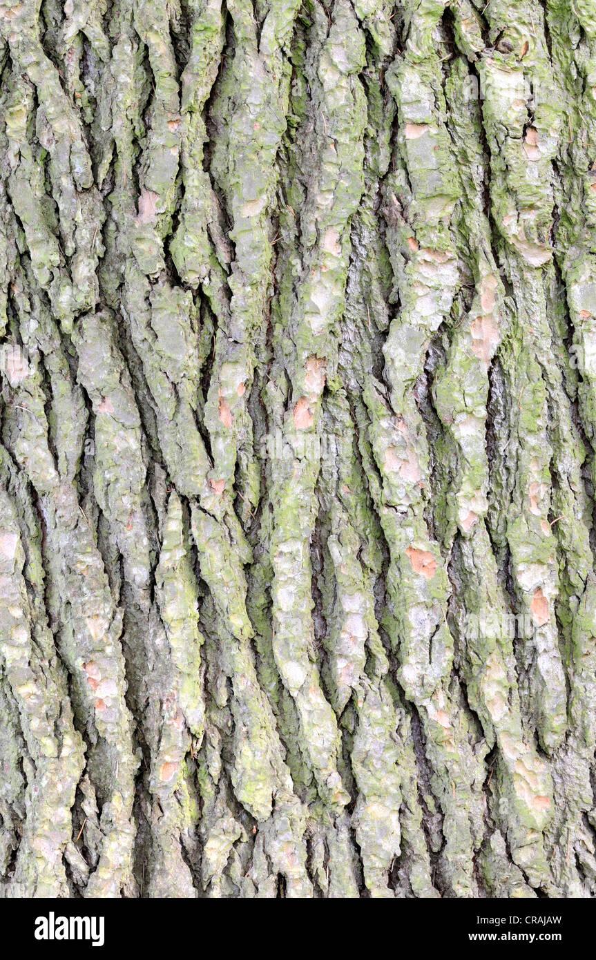 Corteccia di un cedro del Libano (Cedrus libani), Germania, Europa Immagini Stock