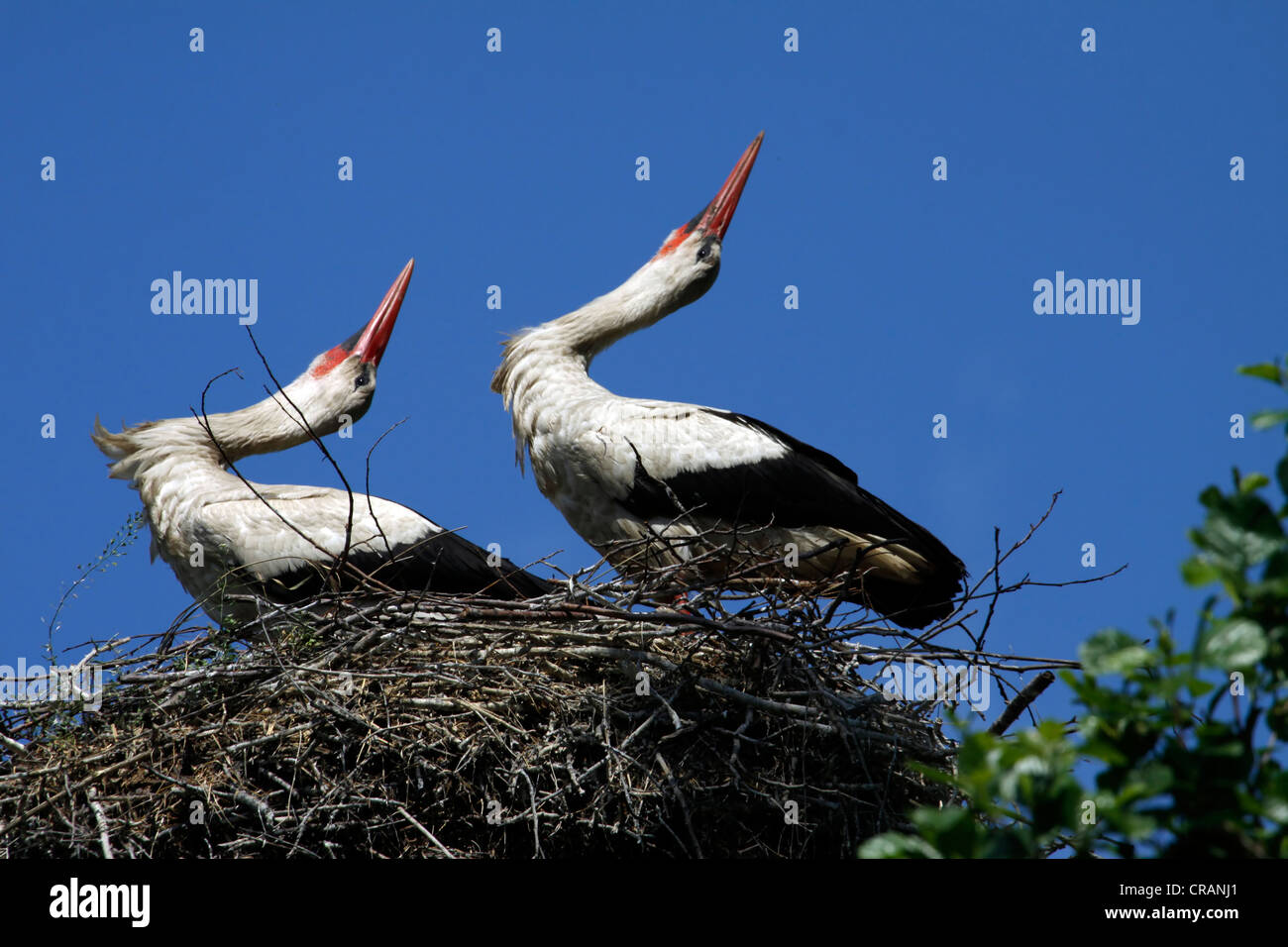 Coppia di cicogne nel nido Immagini Stock