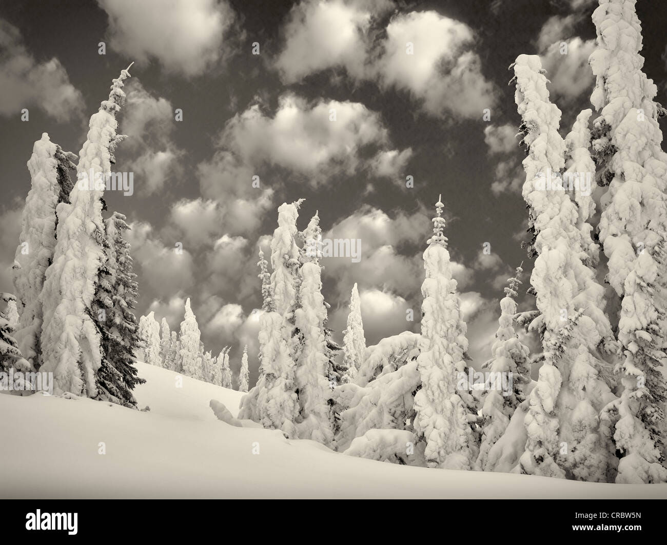 Neve pesante sugli alberi. Mt. Rainier National Park, Washington Foto Stock
