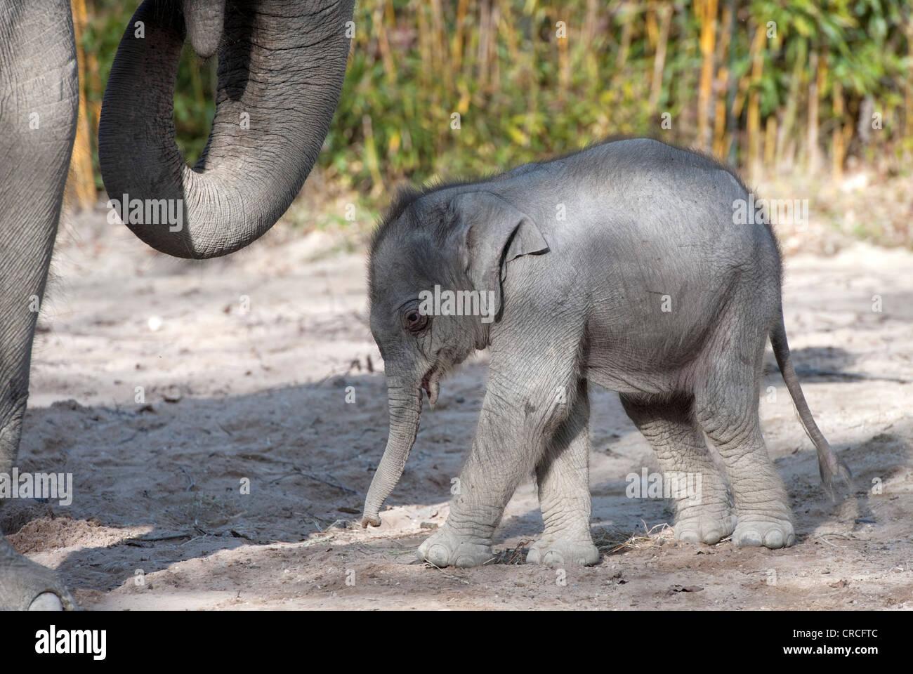 Elefante asiatico (Elephas maximus), femmina baby elephant, 11 giorni, durante la prima incursione nel contenitore Immagini Stock