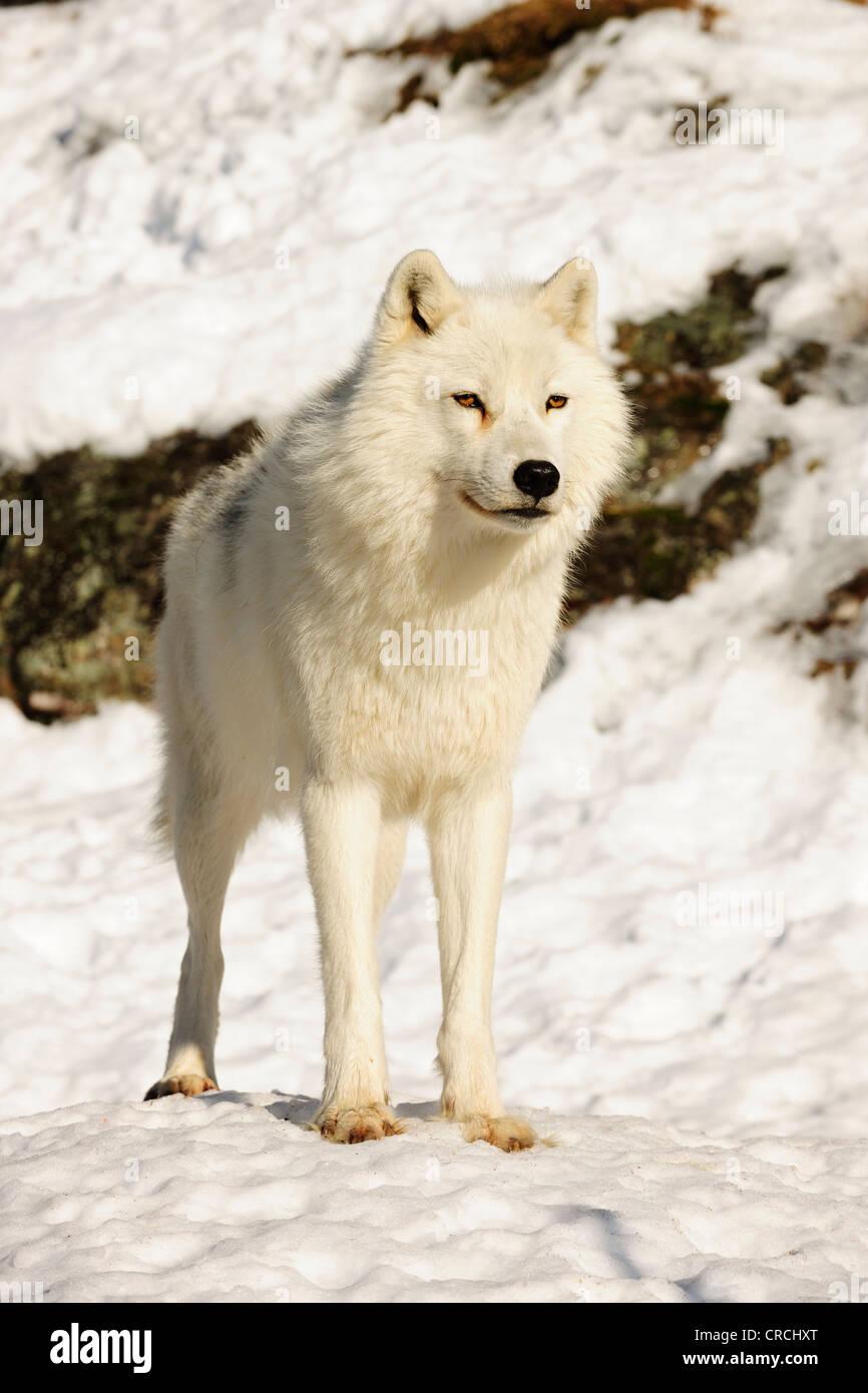 Arctic Wolf, polari o Lupo Lupo Bianco (Canis lupus arctos) in piedi nella neve e guardando in lontananza, Canada Immagini Stock