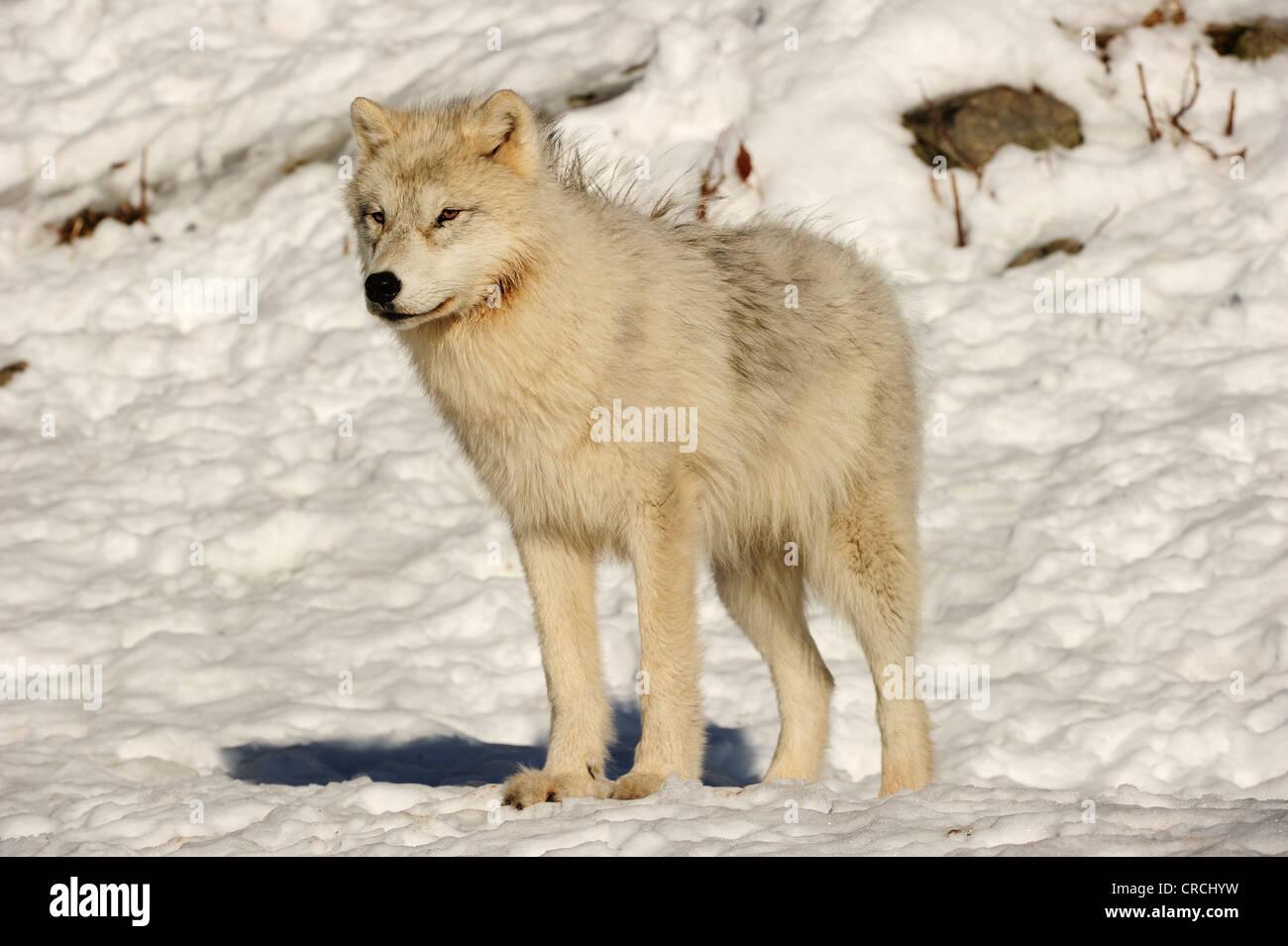 Arctic Wolf, polari o Lupo Lupo Bianco (Canis lupus arctos) in piedi nella neve, Canada Immagini Stock