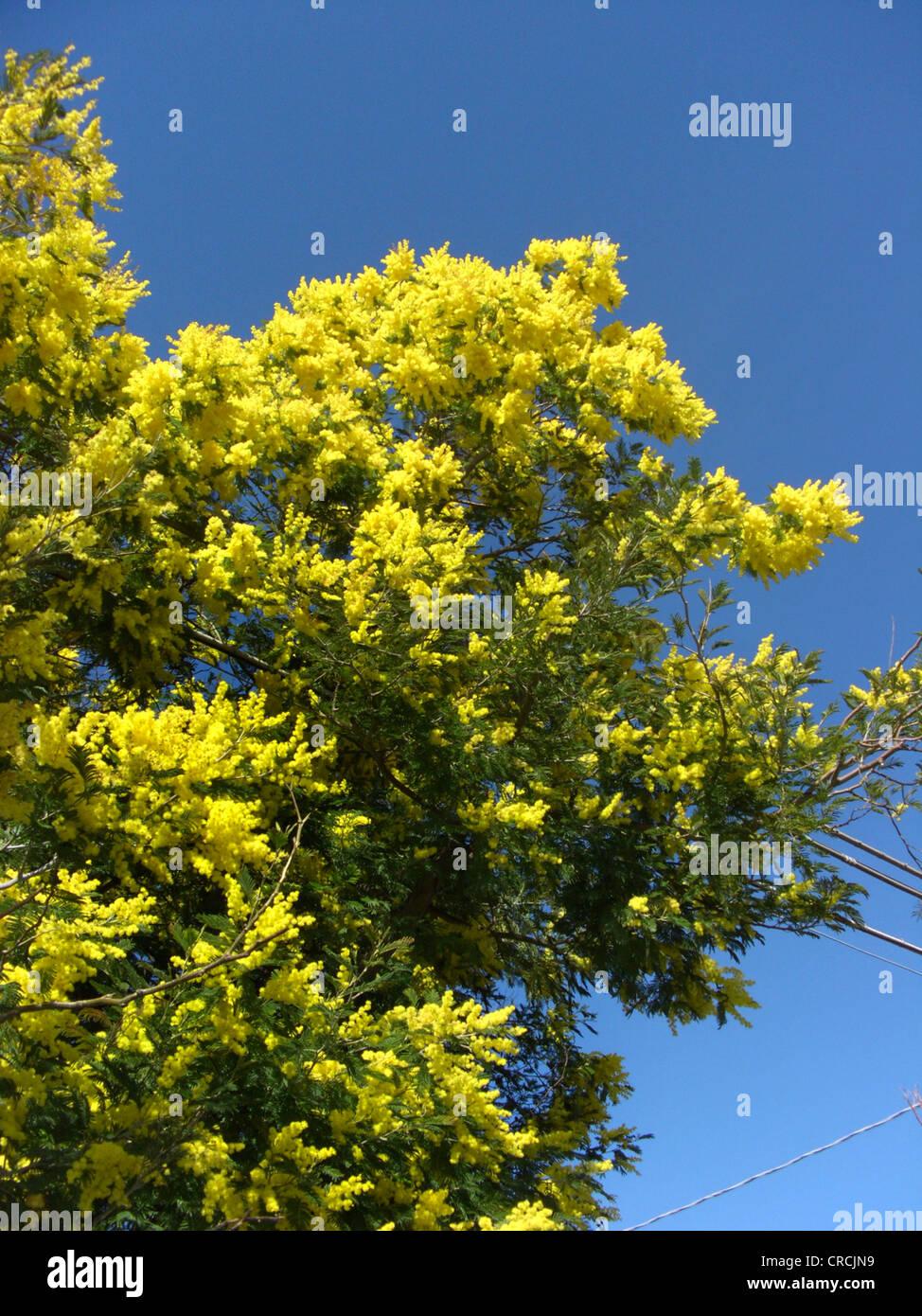 Graticcio di argento (Acacia dealbata), fioritura albero singolo Immagini Stock