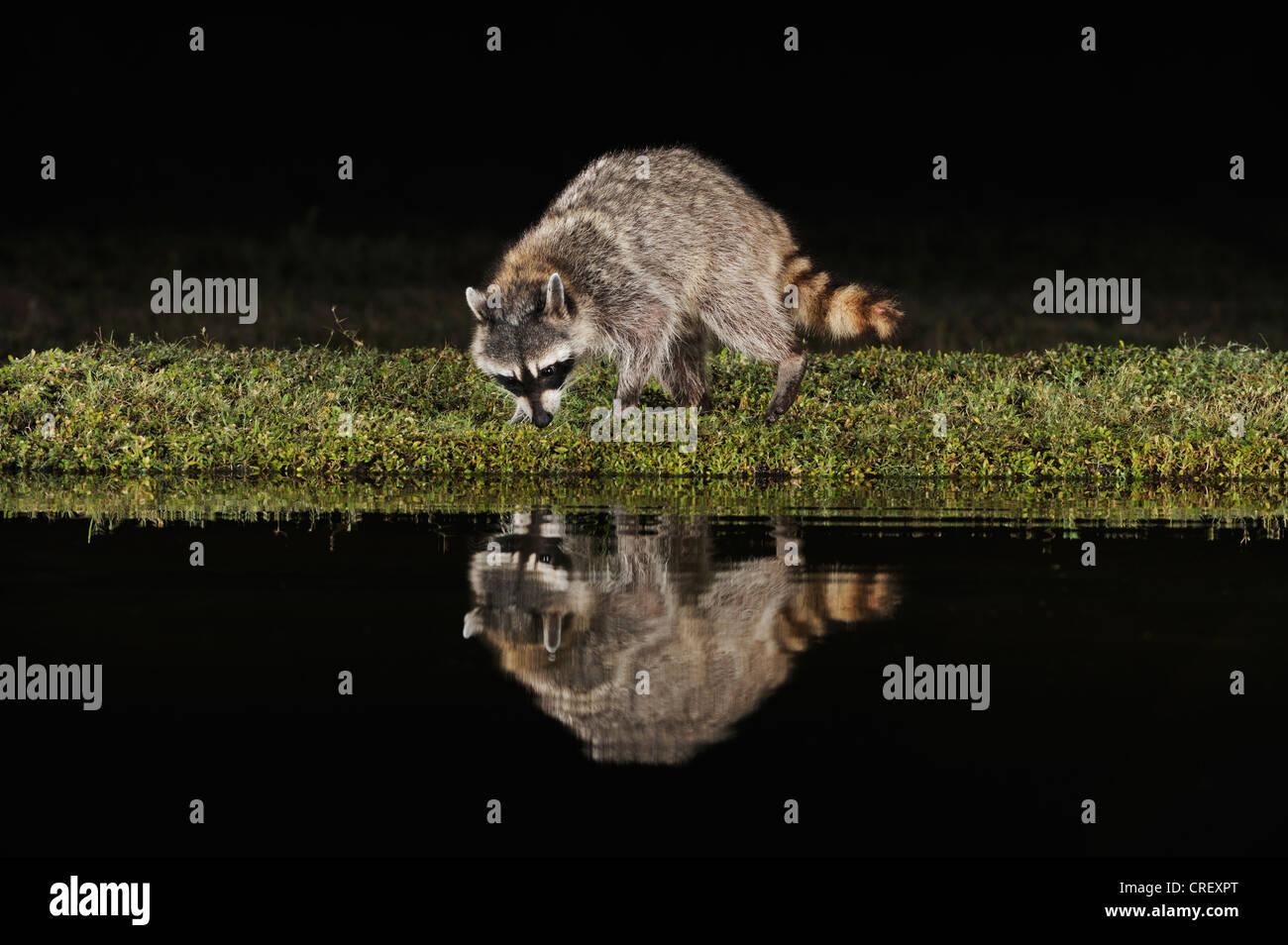 Procione settentrionale (Procione lotor), adulto a notte a stagno, Dinero, Lago di Corpus Christi, South Texas, Immagini Stock