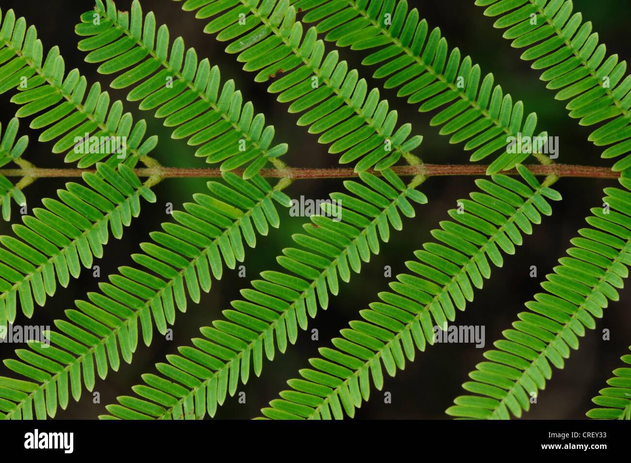 Guajillo acacia (acacia berlandieri), leaf pattern, Dinero, Lago di Corpus Christi, South Texas, Stati Uniti d'America Immagini Stock