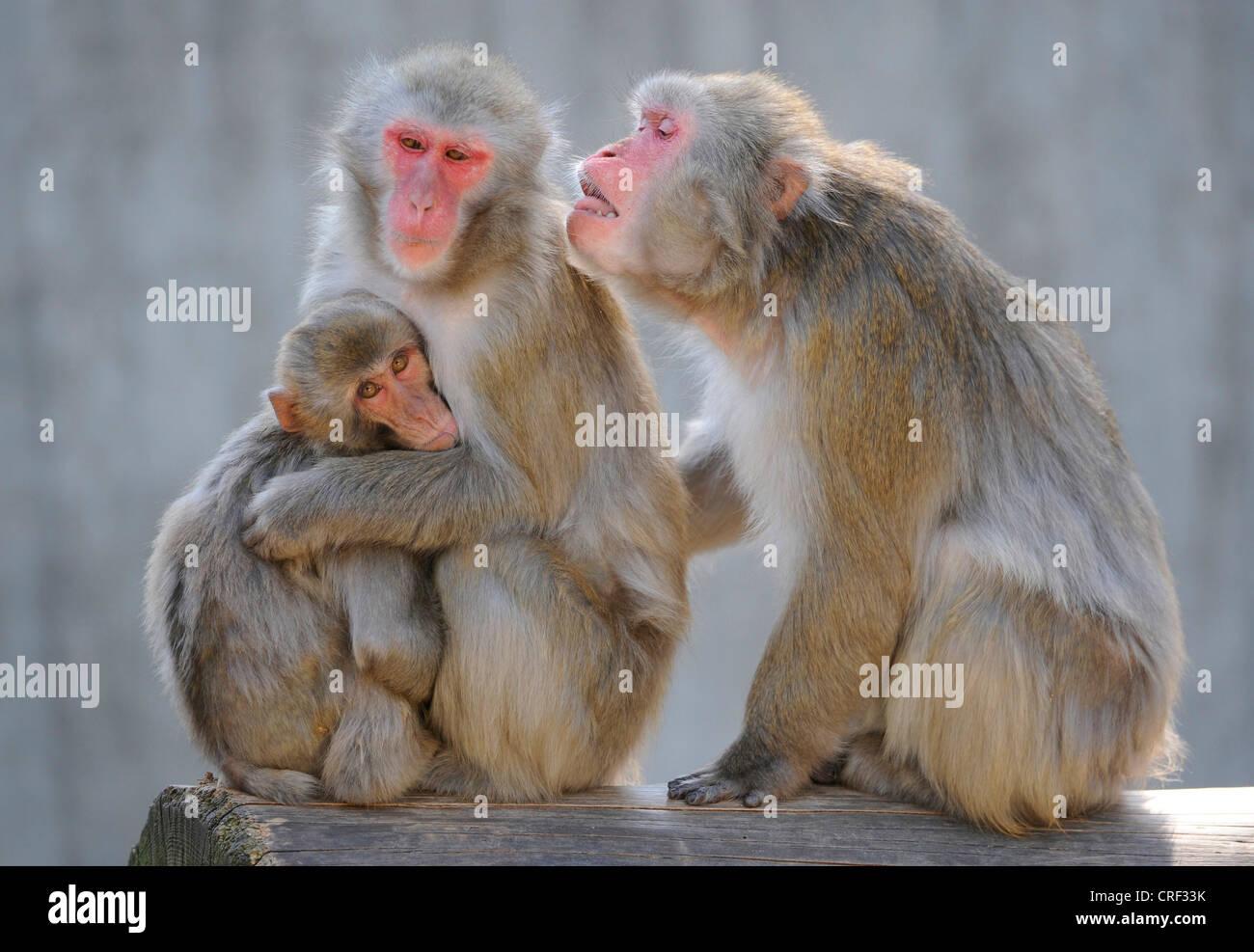 Macaque giapponese, neve di scimmia (Macaca fuscata), tre persone Immagini Stock