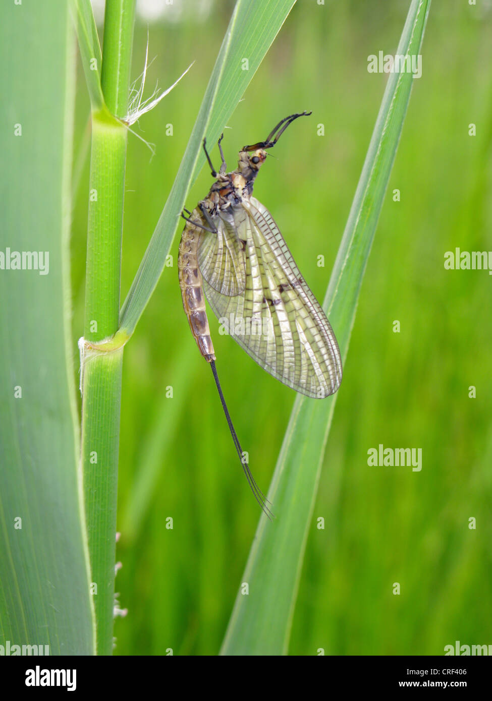 Mayfly (Ephemera cfr danica), imago seduta a pettine, in Germania, in Baviera Immagini Stock