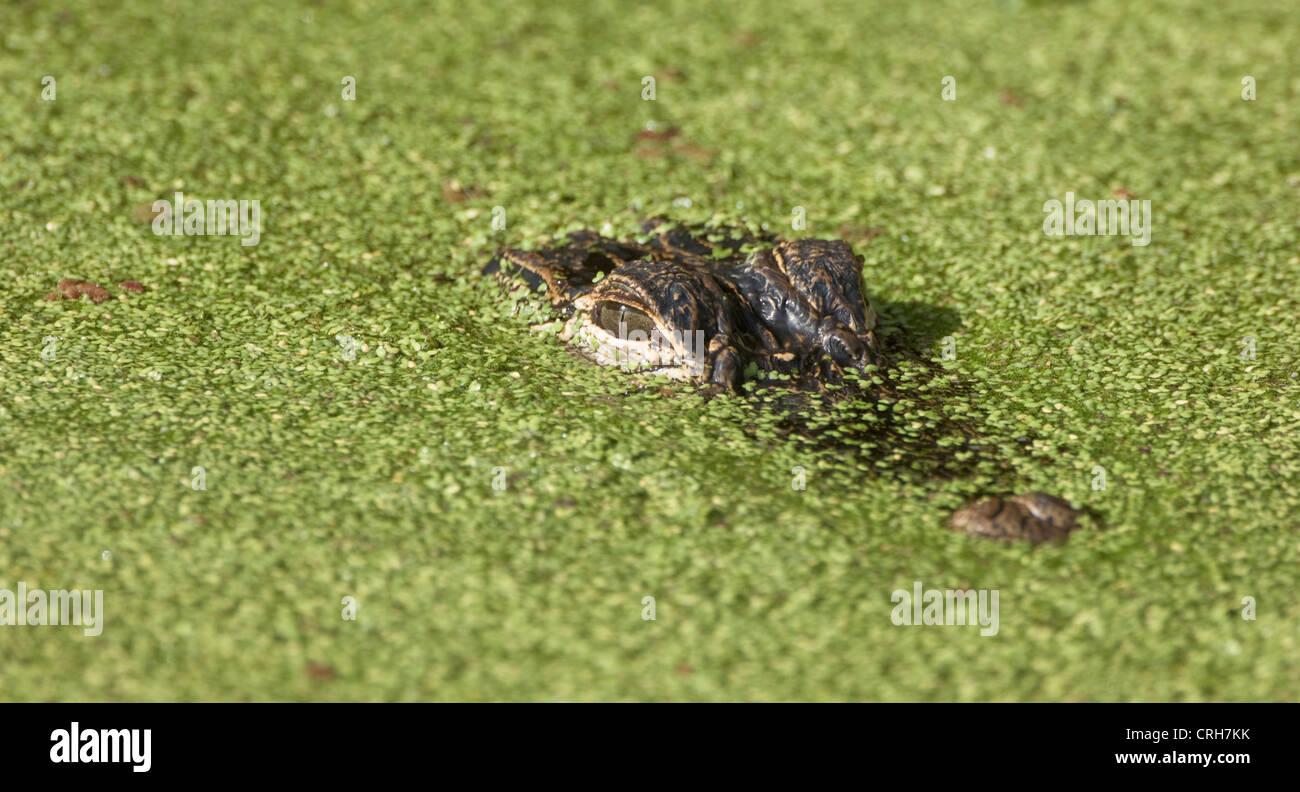 Alligatore rettile della fauna selvatica di lenticchie d'acqua Loxahatchee Wildlife Refuge Immagini Stock