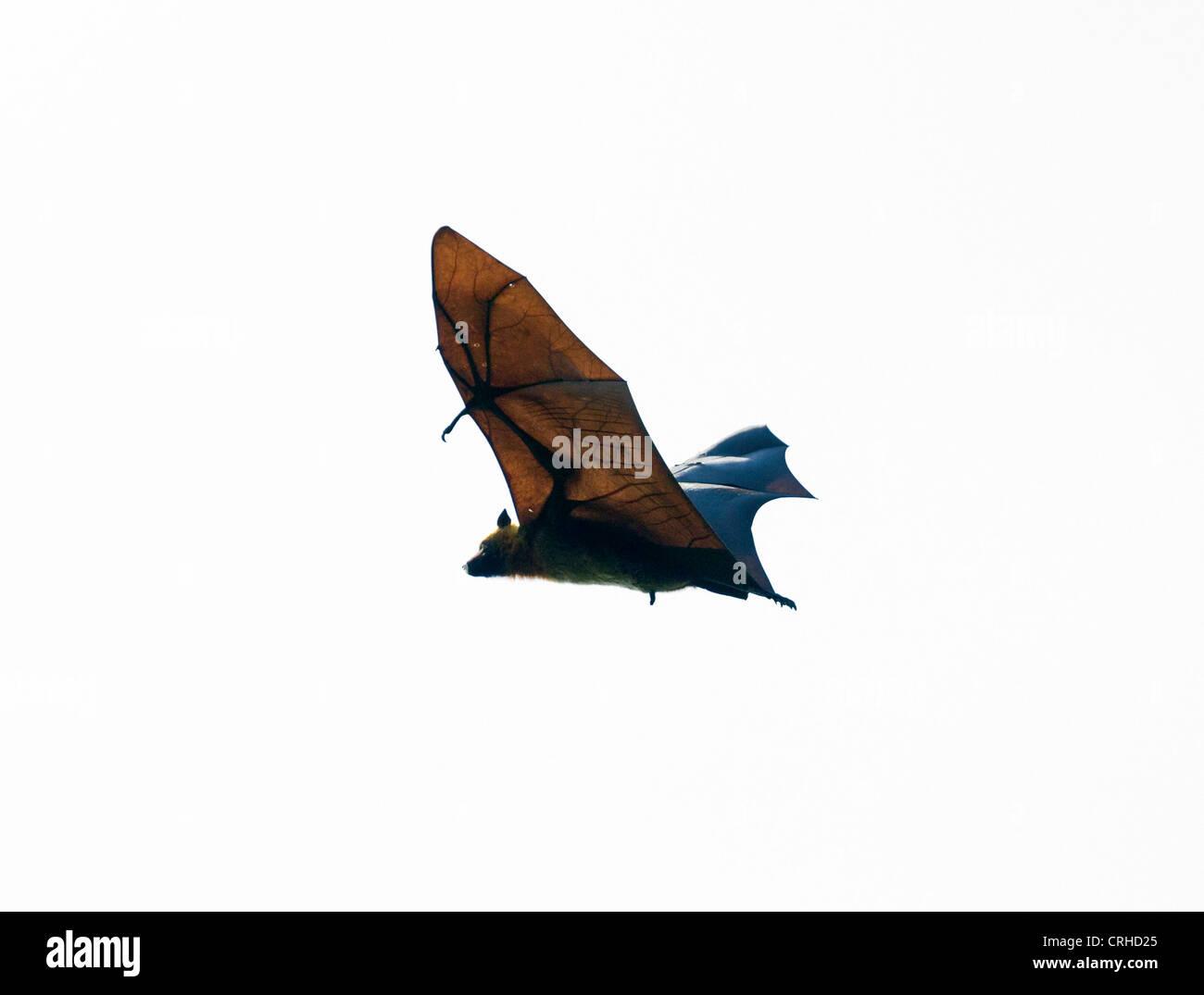 Madagascan flying fox, Madagascar flying fox, o frutta Madagascar bat (Pteropus rufus), una specie di megabat Foto Stock