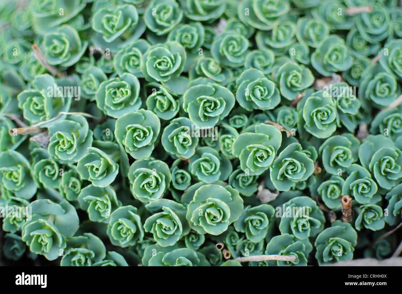 Petali di piante succulente Immagini Stock