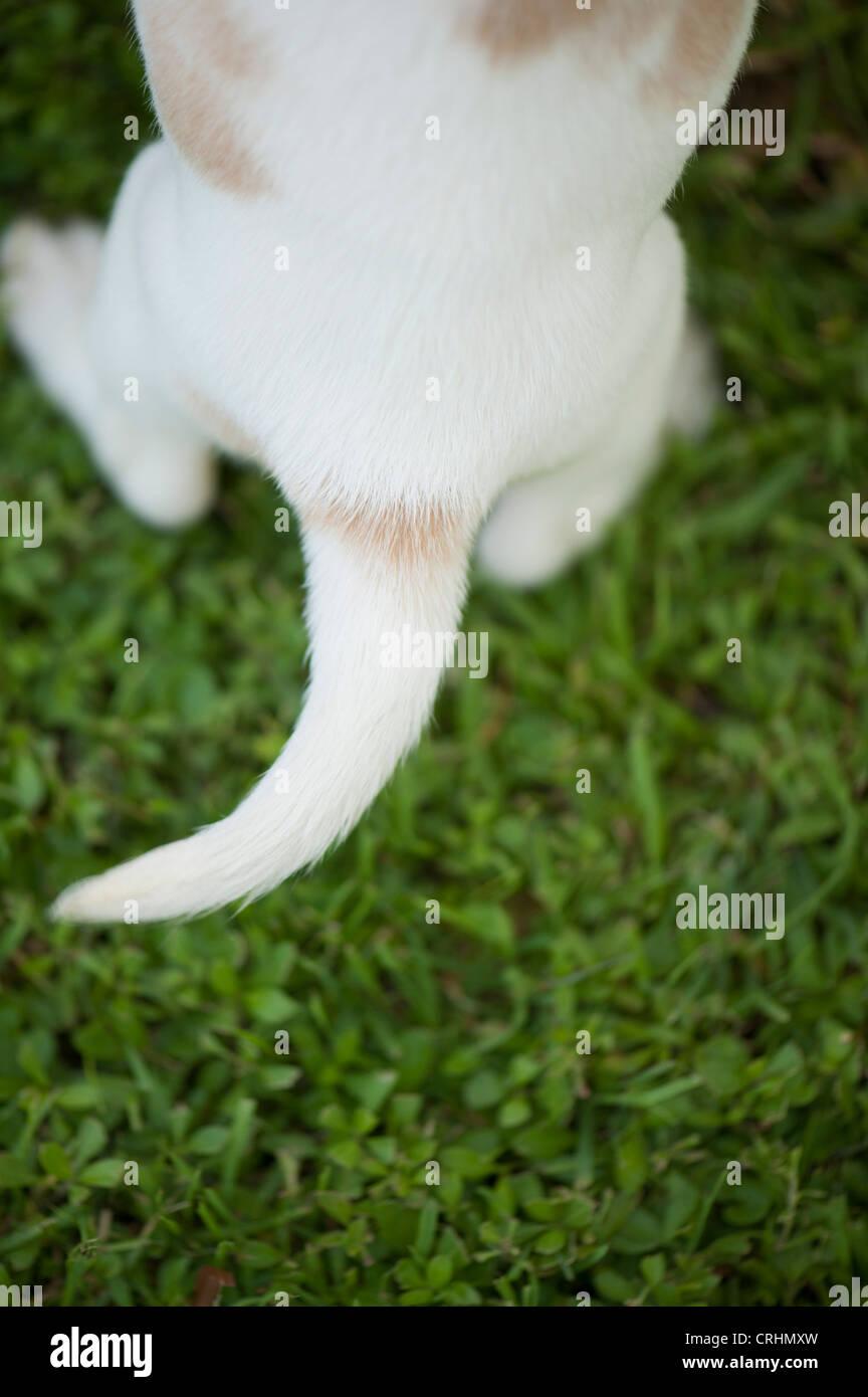 Estremità posteriore del cucciolo di beagle, vista aerea Immagini Stock