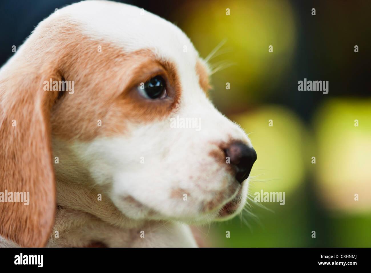 Beagle cucciolo, vista laterale Immagini Stock
