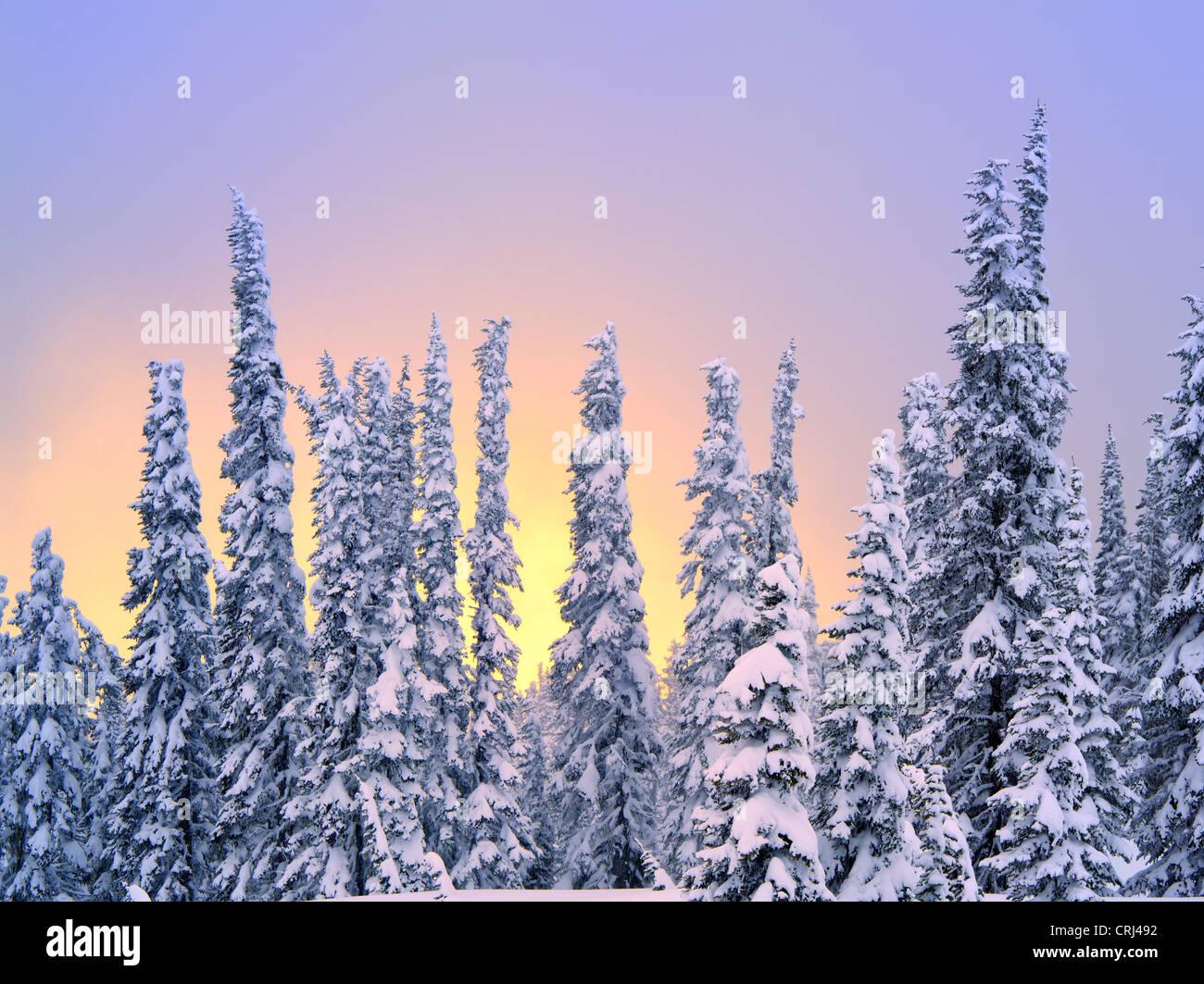 Neve su alberi con colori del tramonto. Mt. Rainier National Park, Washington Immagini Stock