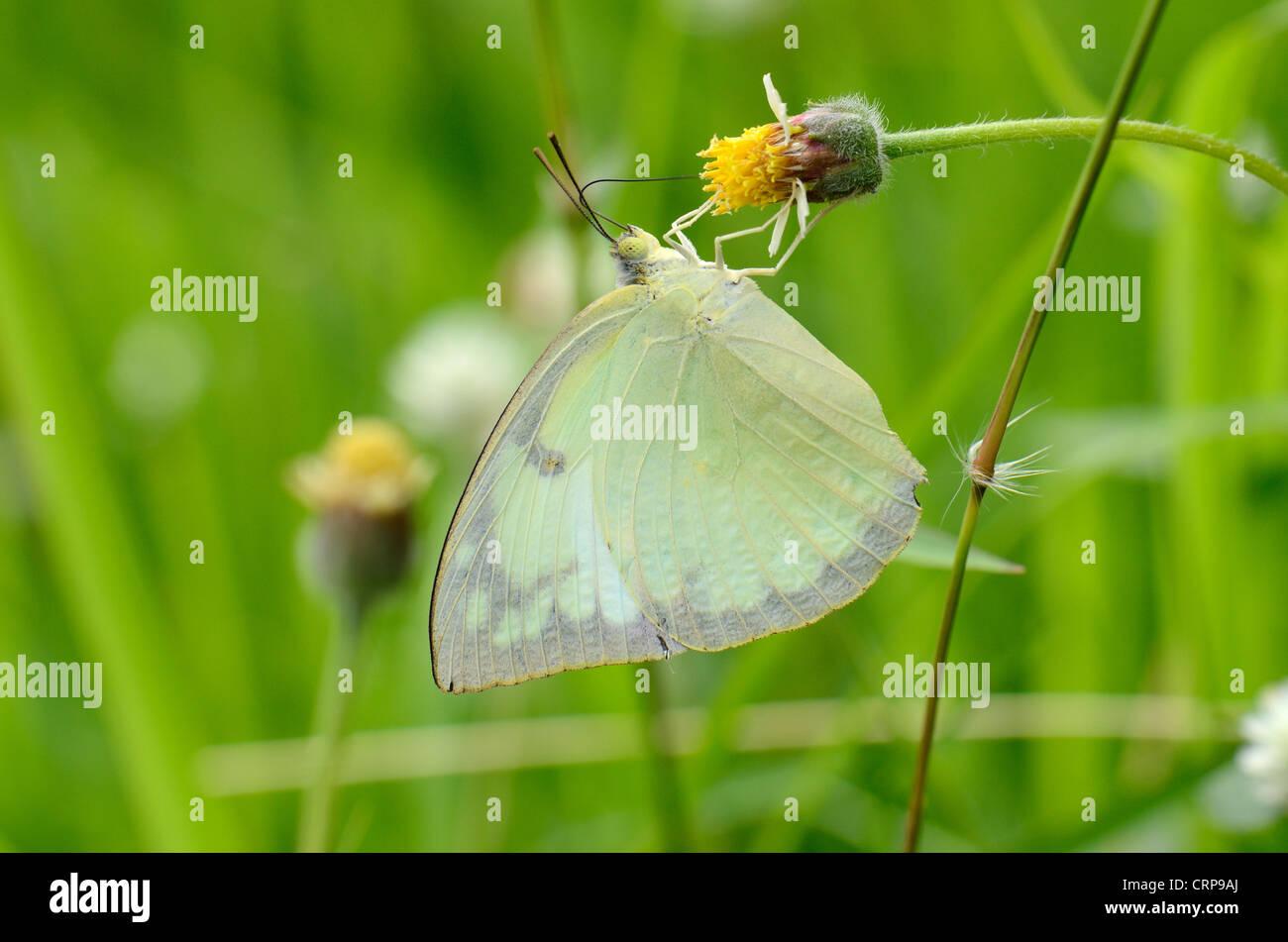 Bellissimo il limone emigrante butterfly (Catopsilia pomona)sul fiore vicino alla strada via Immagini Stock