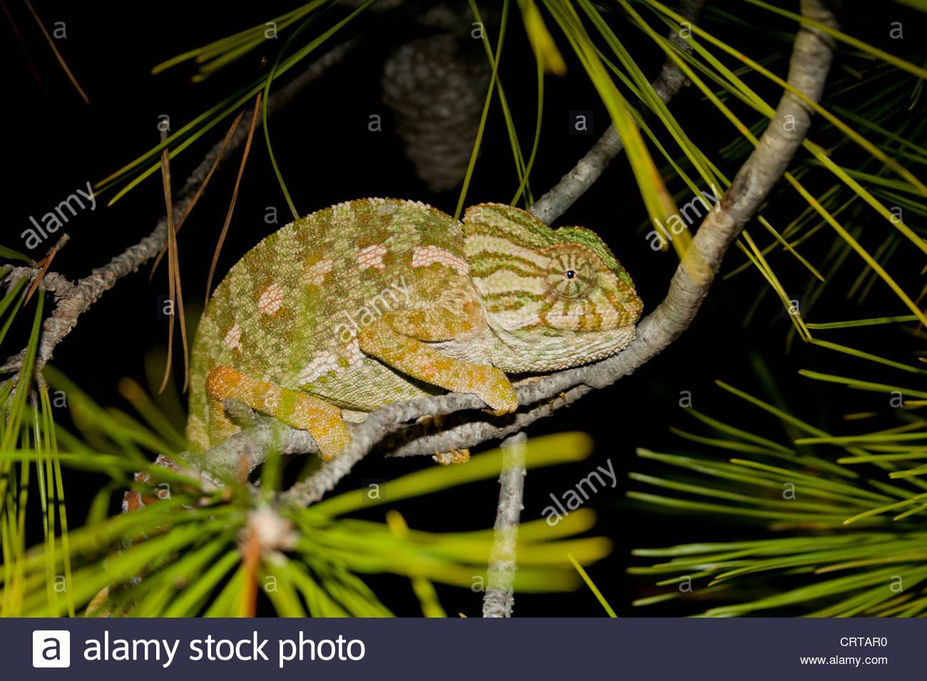 Chamaeleo chamaeleon, chameleon in San Pedro del Pinatar, Murcia, Spagna meridionale. Immagini Stock