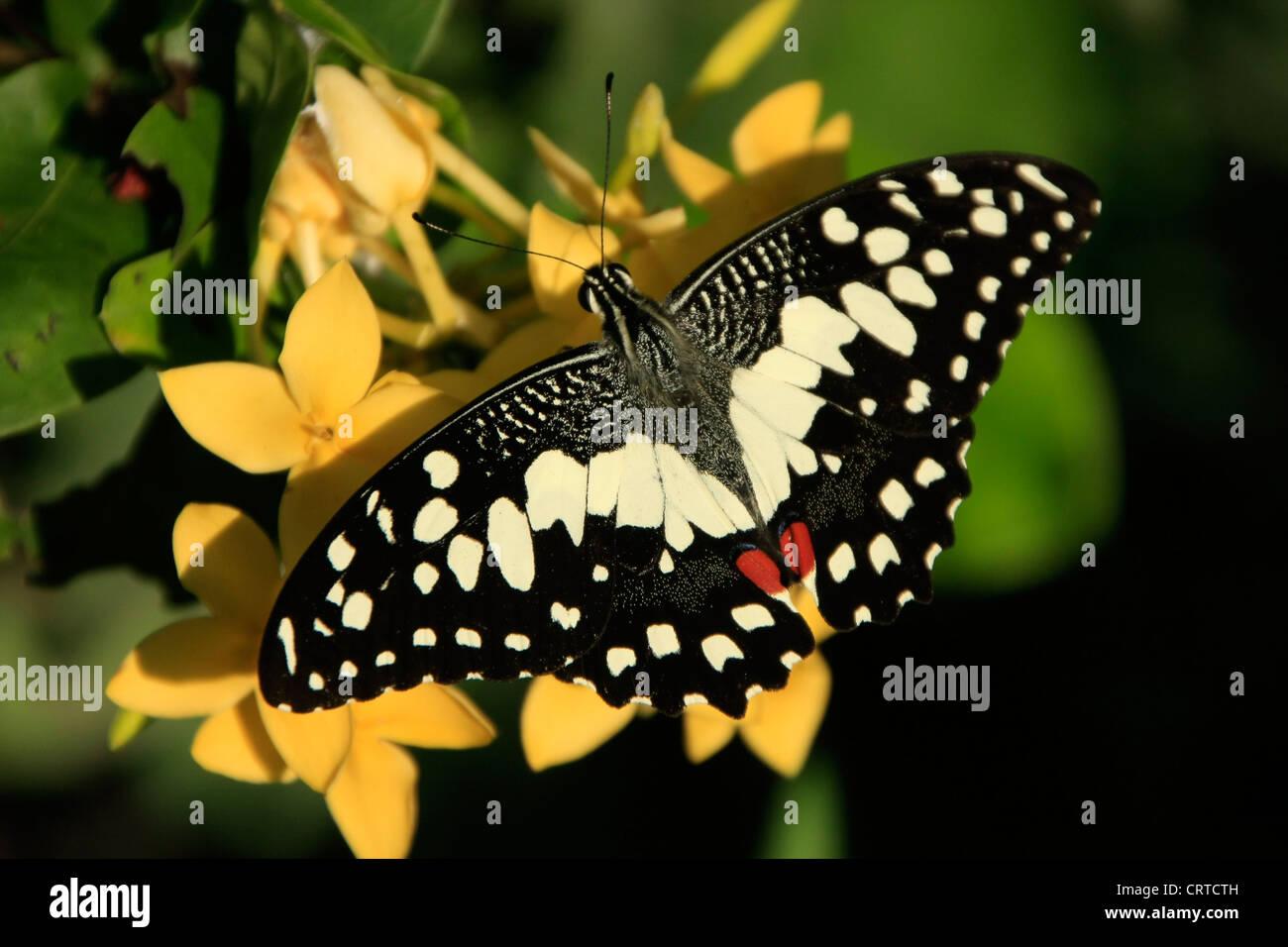 Lime Butterfly (Papilio demoleus) su fiori gialli Immagini Stock