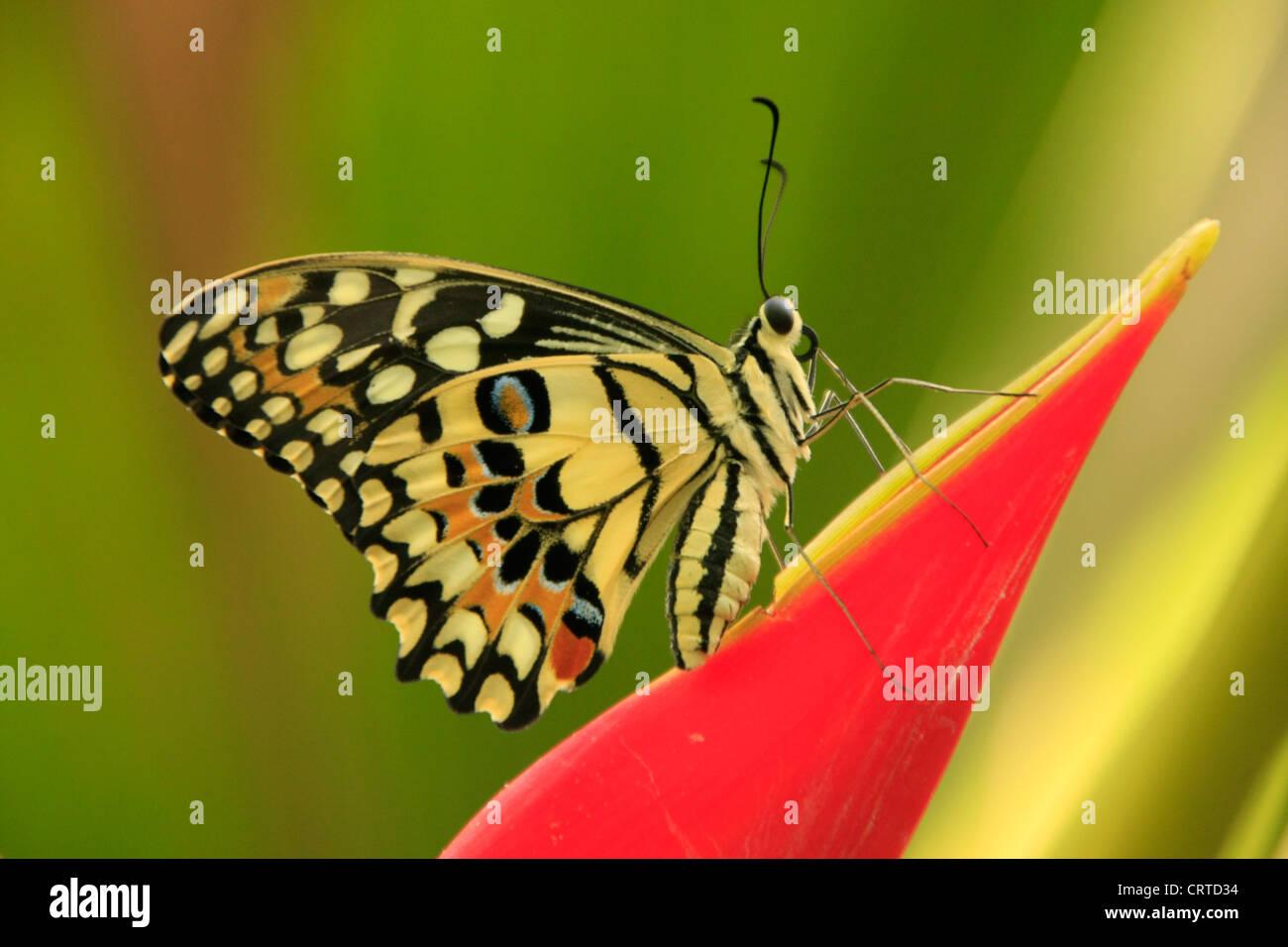 Lime Butterfly (Papilio demoleus) su un fiore rosso Immagini Stock