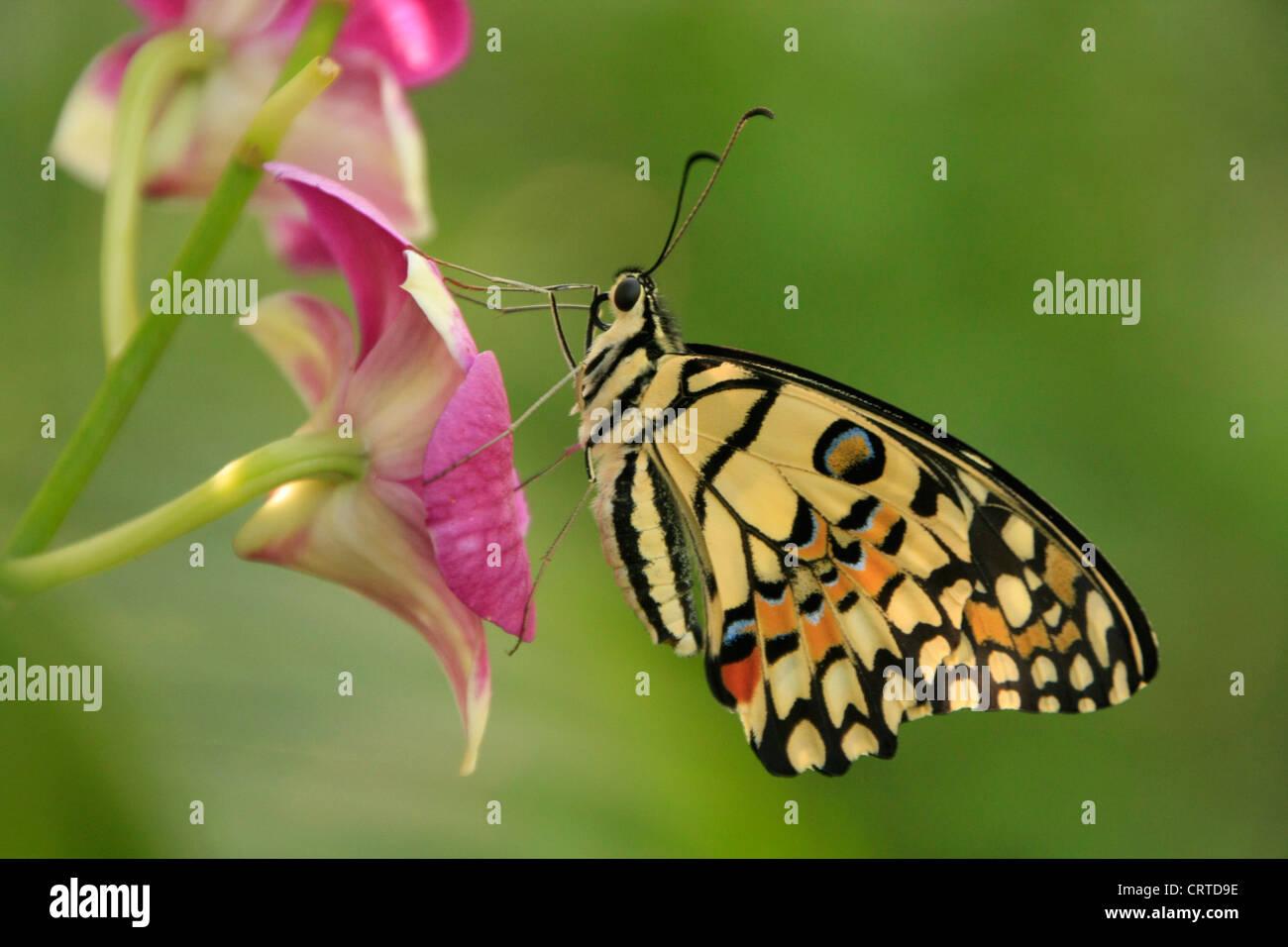 Lime Butterfly (Papilio demoleus) sui fiori viola Immagini Stock