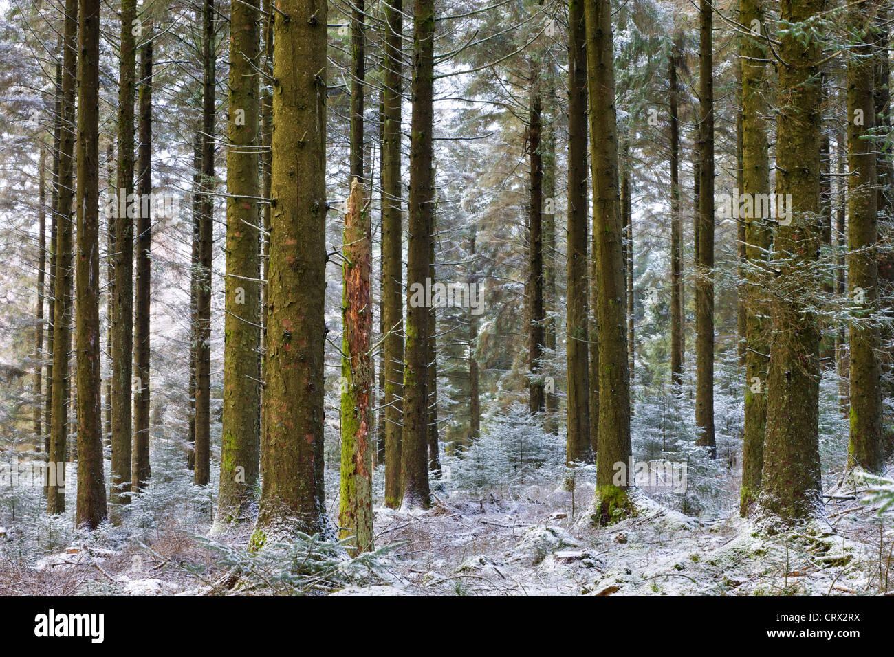 Neve spolverato di bosco di pino a Fernworthy Foresta, Parco Nazionale di Dartmoor, Devon, Inghilterra. Inverno Immagini Stock