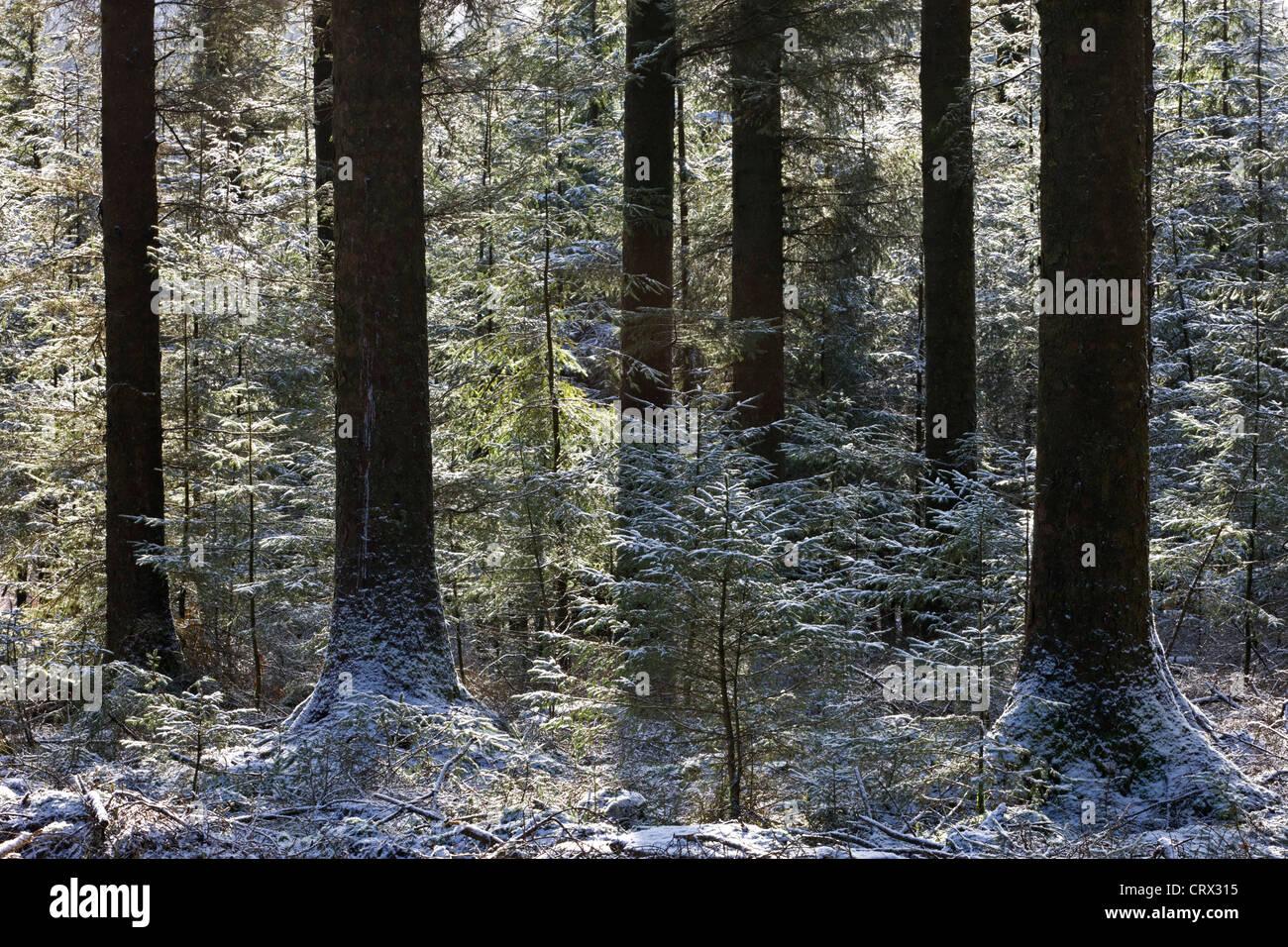 Spolverata di neve in una pineta di pino silvestre, Fernworthy, Dartmoor Devon, Inghilterra. Inverno (febbraio 2010). Immagini Stock