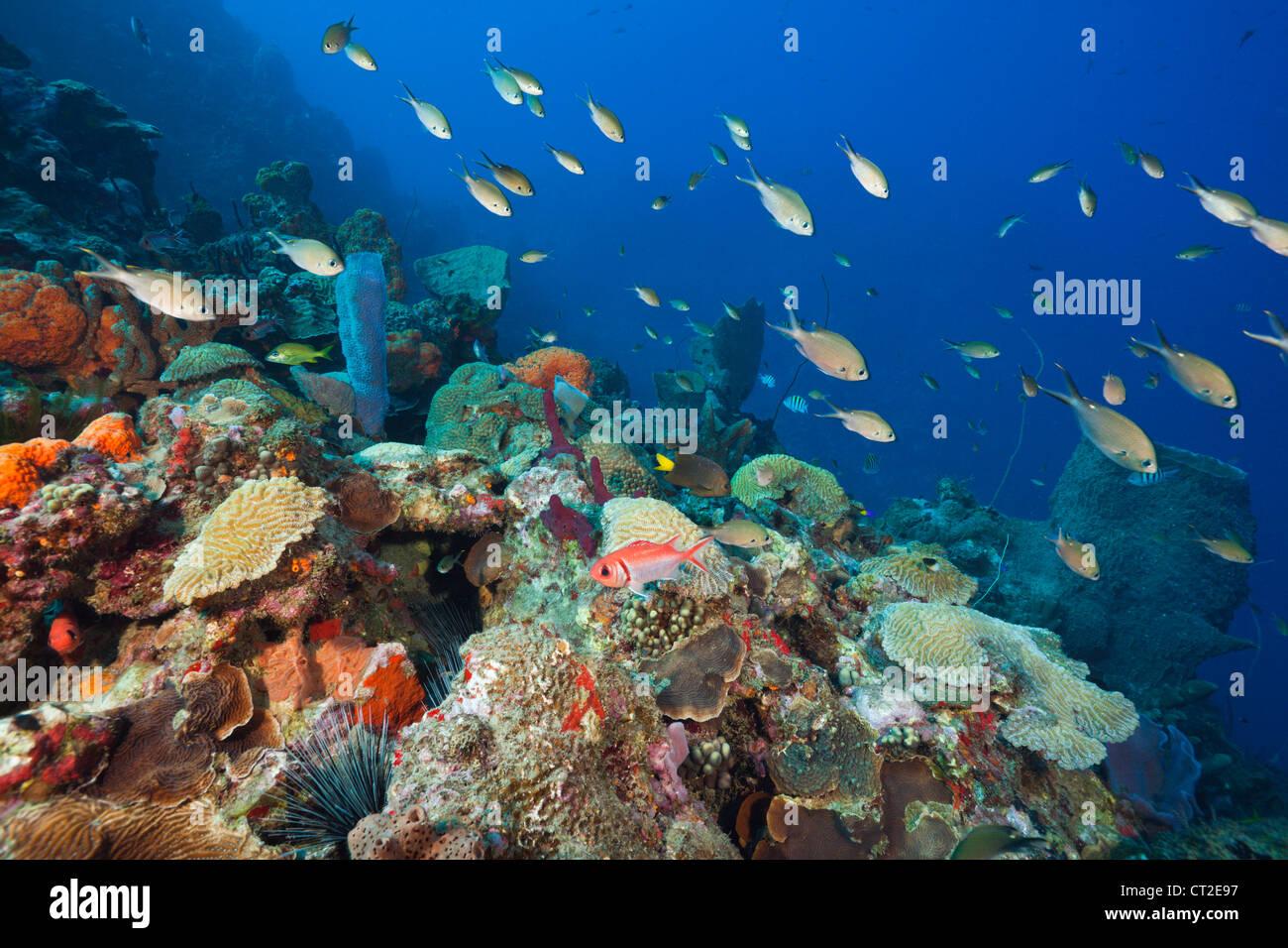 Una scogliera corallina caraibica, il Mare dei Caraibi, Dominica Immagini Stock