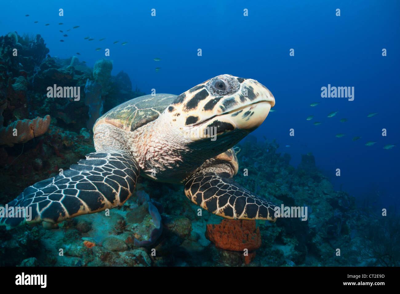 Tartaruga embricata, Eretmochelys imbriocota, Mar dei Caraibi, Dominica Immagini Stock