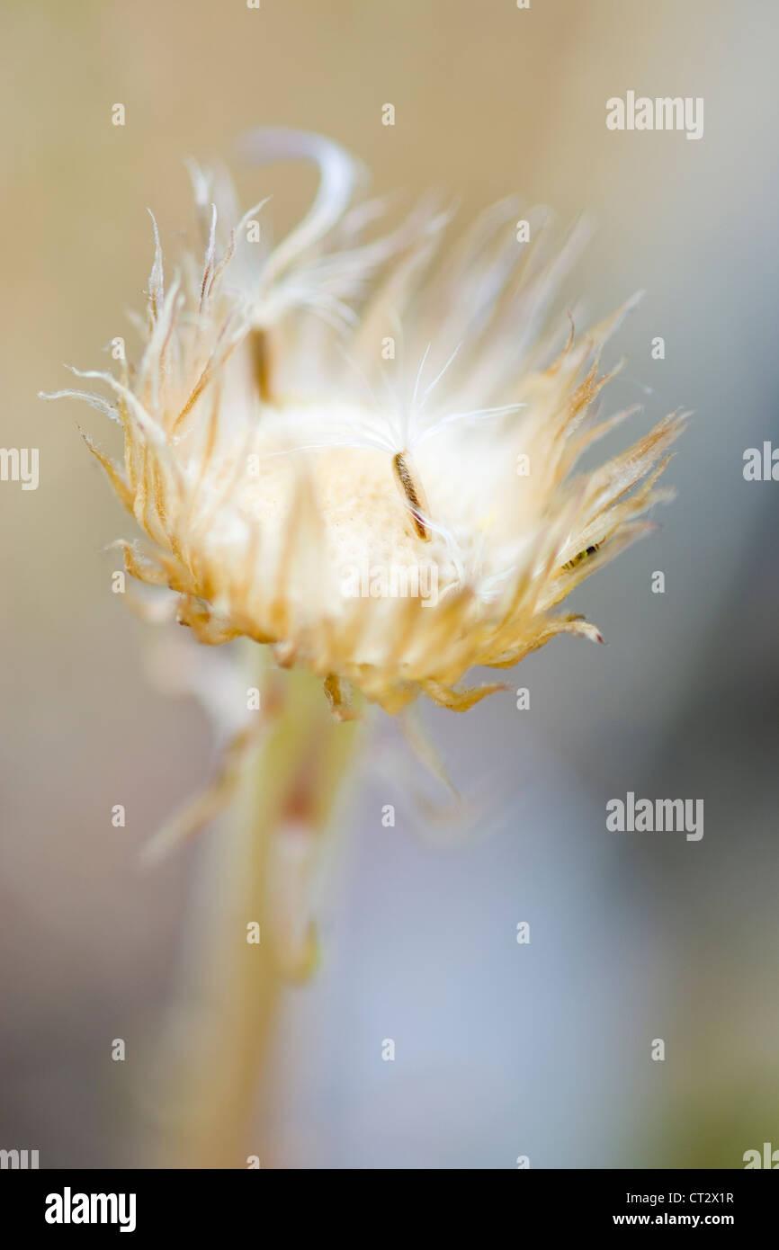 Townsendia parrys, Angeli canna da pesca Immagini Stock