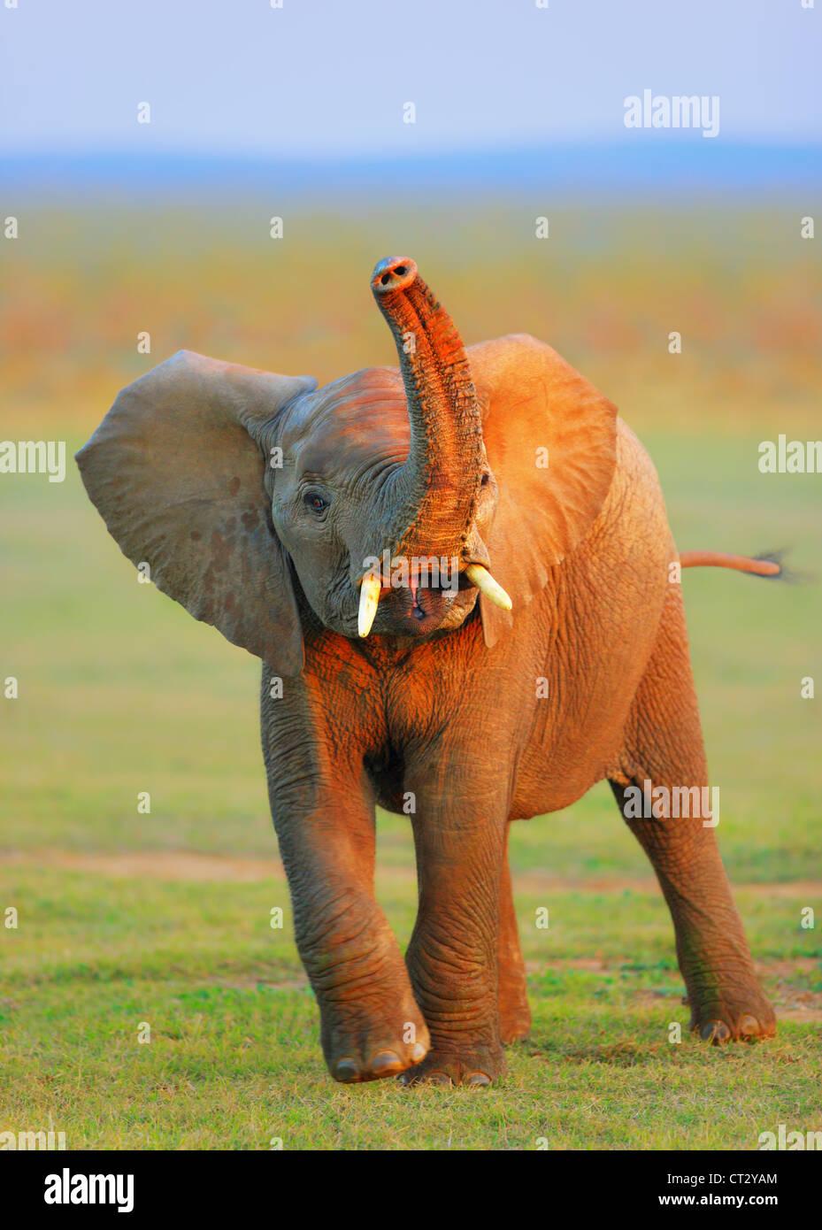 Baby Elephant con tronco sollevato - Addo Elephant National Park - Sud Africa Immagini Stock