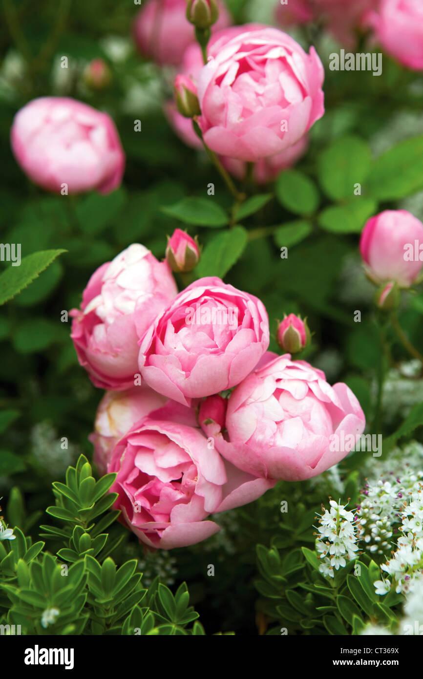 Rosa, rosa Immagini Stock