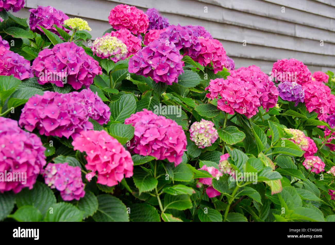La Rhode Island, isola di blocco. i fiori delle ortensie in fiore. Foto Stock