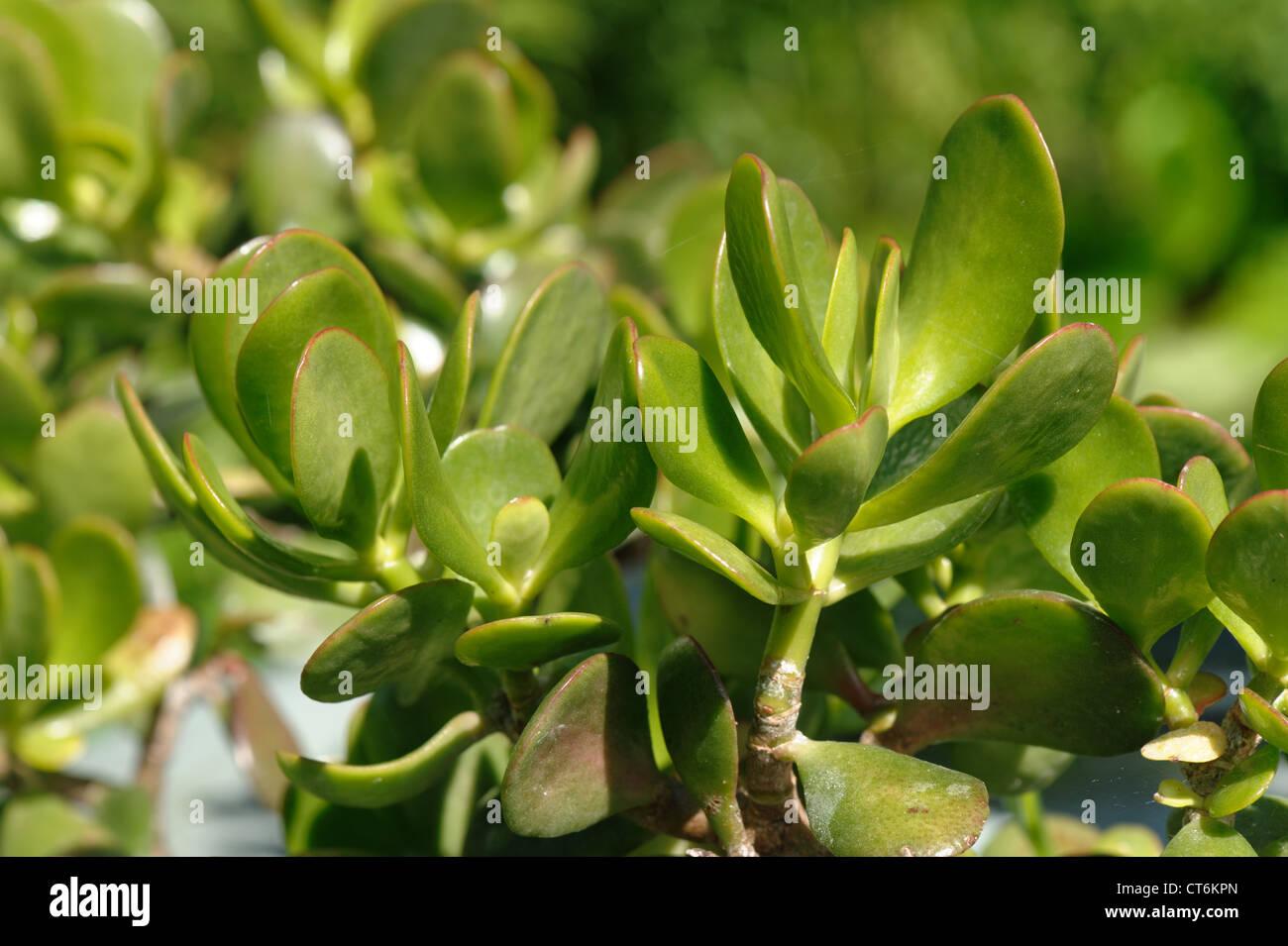 Succulento foglie di un albero di denaro o impianto di denaro Crassula ovata Immagini Stock