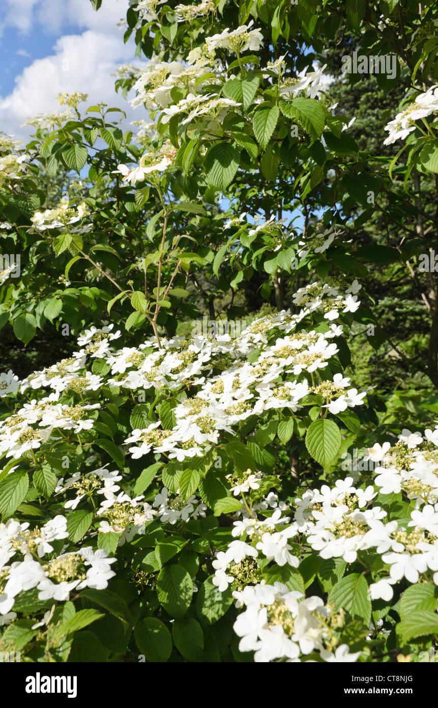 Snowball Giapponese Viburnum Plicatum Var Tomentosum Summer Il