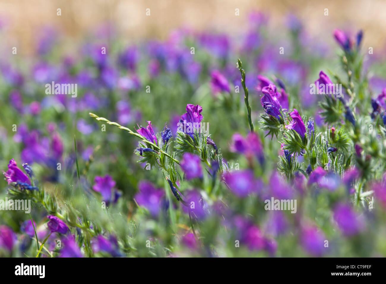 Viola fiori di montagna nelle montagne del Supramonte