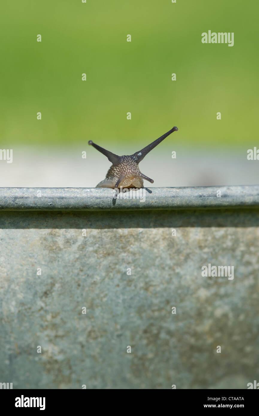 Raccolte le lumache in una pentola di metallo, la loro rimozione da un giardino biologico Immagini Stock
