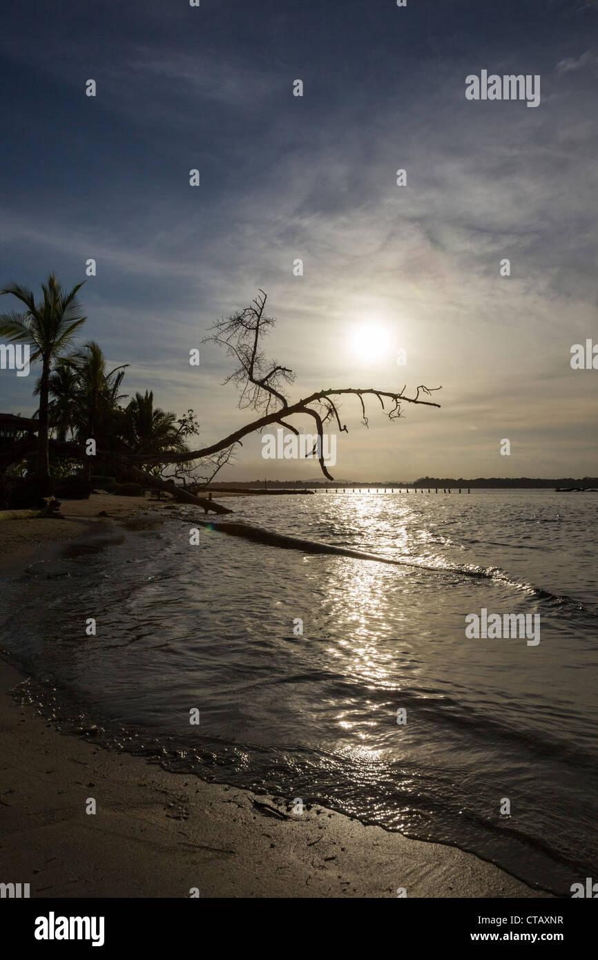 Stagliano tree contro il sole e il mare a Boca del Drago, Isla Colon, Bocas del Toro, Panama. Immagini Stock