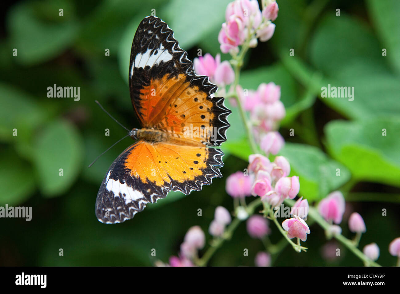 Butterfly al tropical butterfly farm sull isola di Penang, stato di Penang, Malaysia, sud-est asiatico Immagini Stock