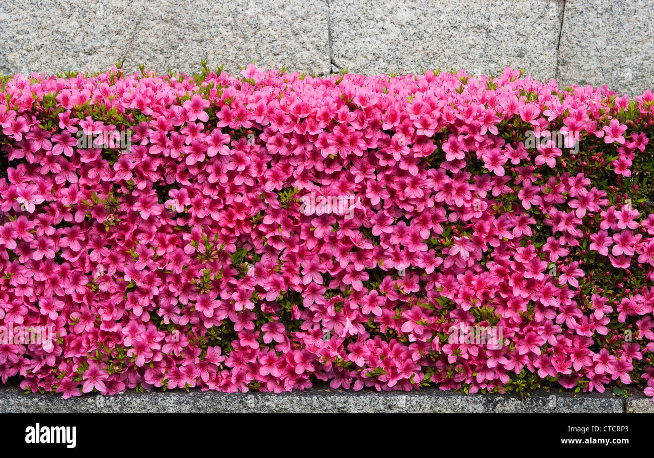 Risultati immagini per una siepe di azalee rosa