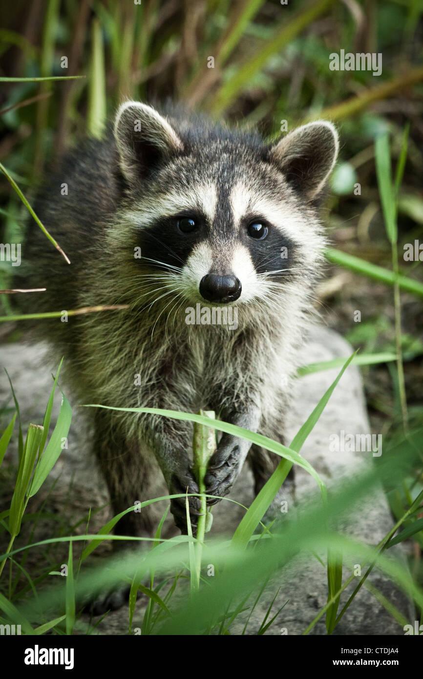 I capretti Raccoon (Procione lotor), Metropolitana Inniswood giardini, Westerville, Ohio. Immagini Stock