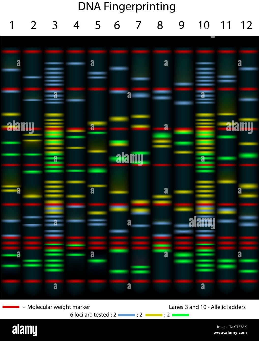 Impronta del DNA esempio gel Immagini Stock