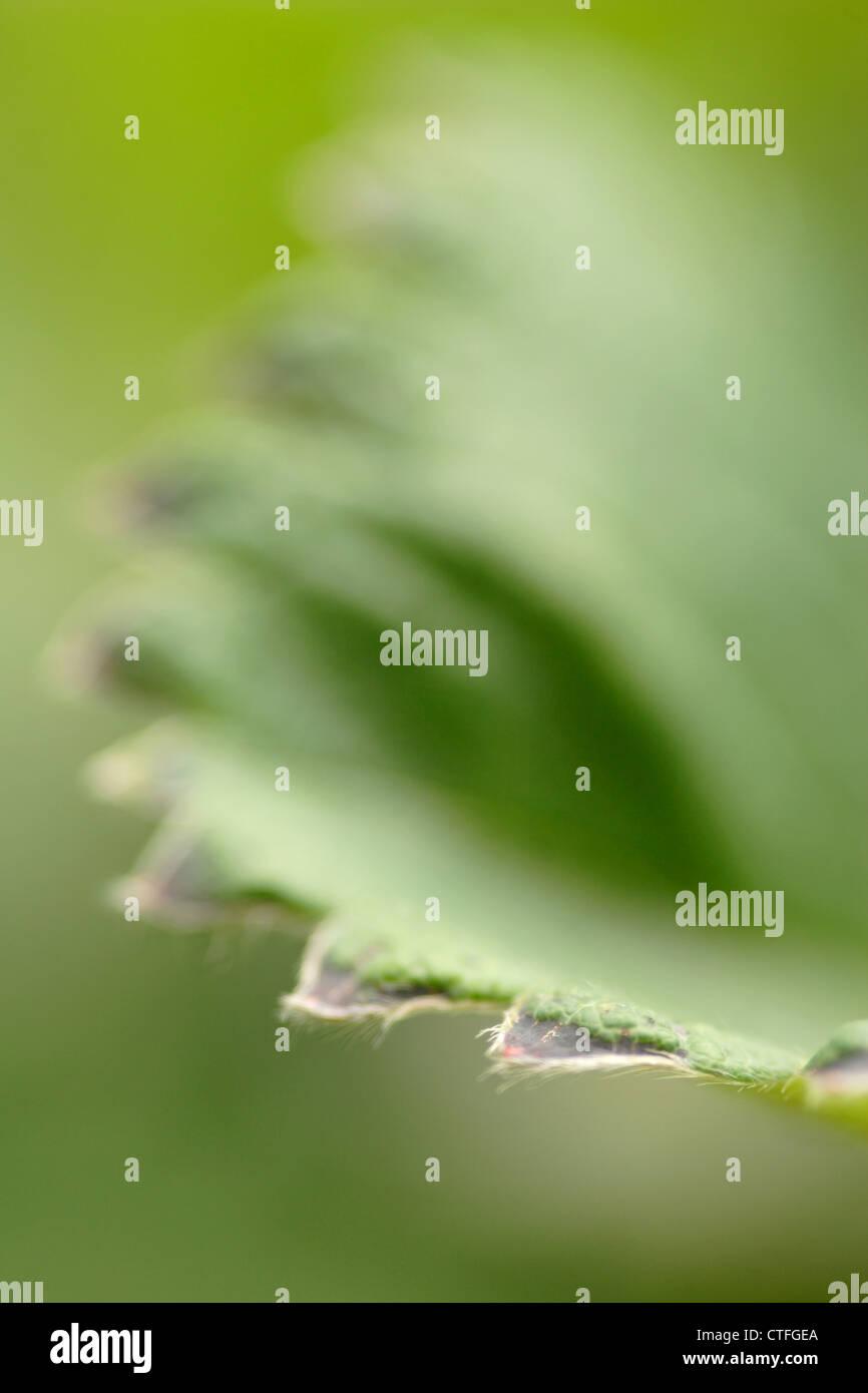 Dettaglio di foglie di piante di fragola (Fragaria x ananassa) Immagini Stock