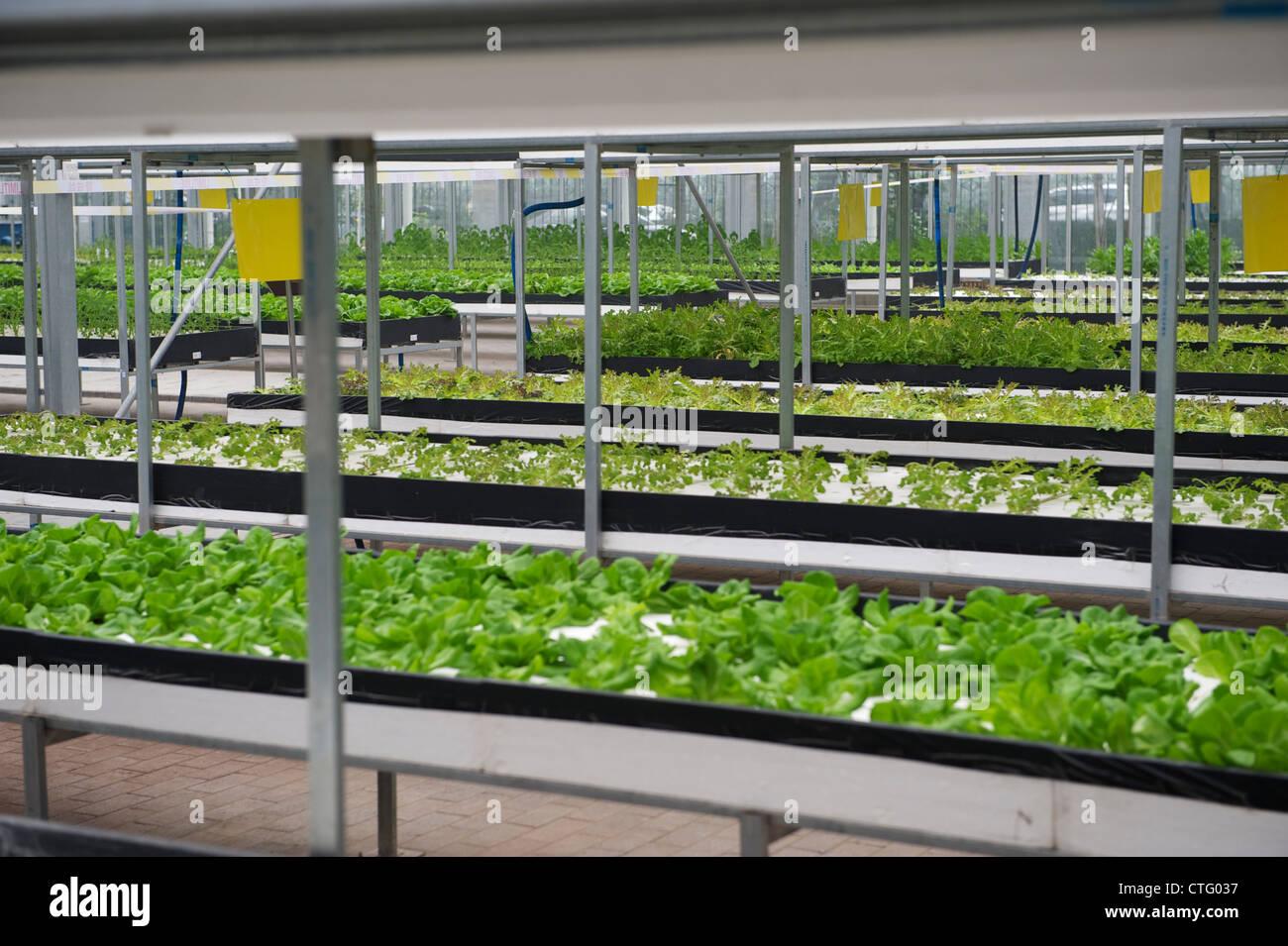 Verdure coltivate con fluido nutriente in Cina. Immagini Stock