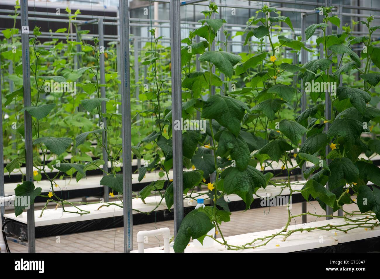 Cetrioli coltivati con il fluido nutriente in Cina. Immagini Stock