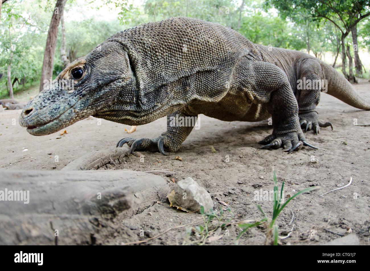 Drago di Komodo, Rinca Isola, parco nazionale di Komodo, Indonesia Foto Stock