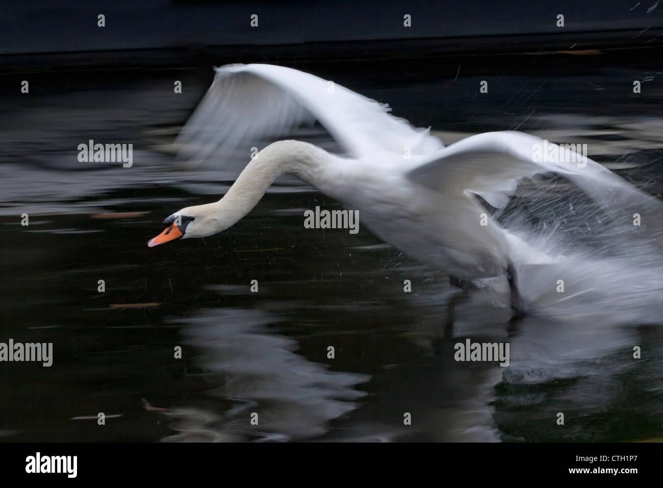 I Paesi Bassi, 's-Graveland, Cigno atterraggio, (Cygnus olor ). Immagini Stock