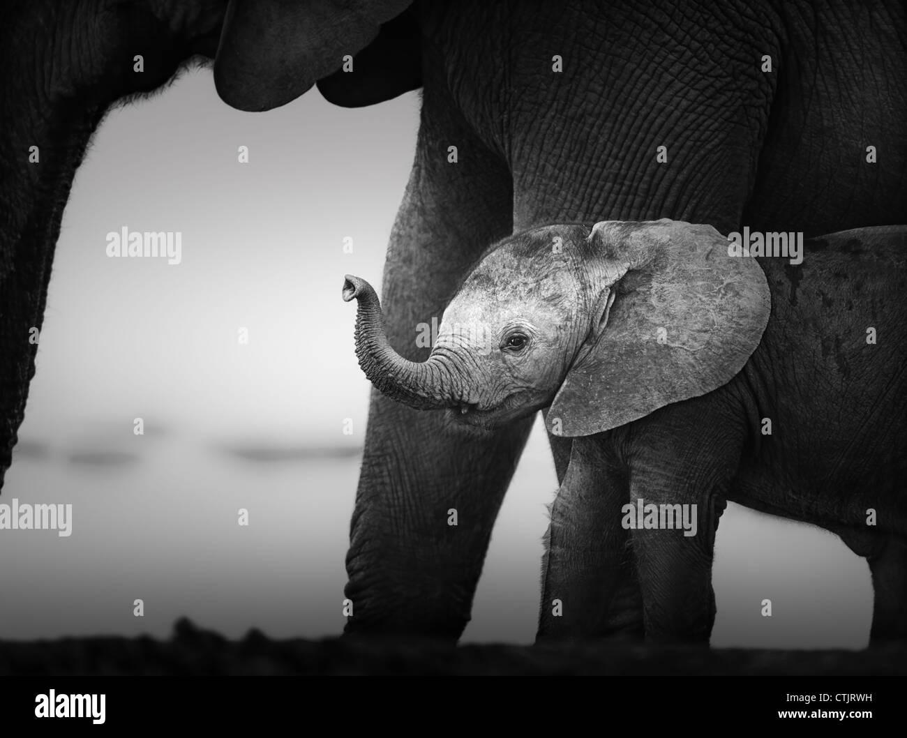 Baby Elephant accanto al latte di vacca (lavorazione artistica) Parco Nazionale di Addo - Africa del Sud Foto Stock