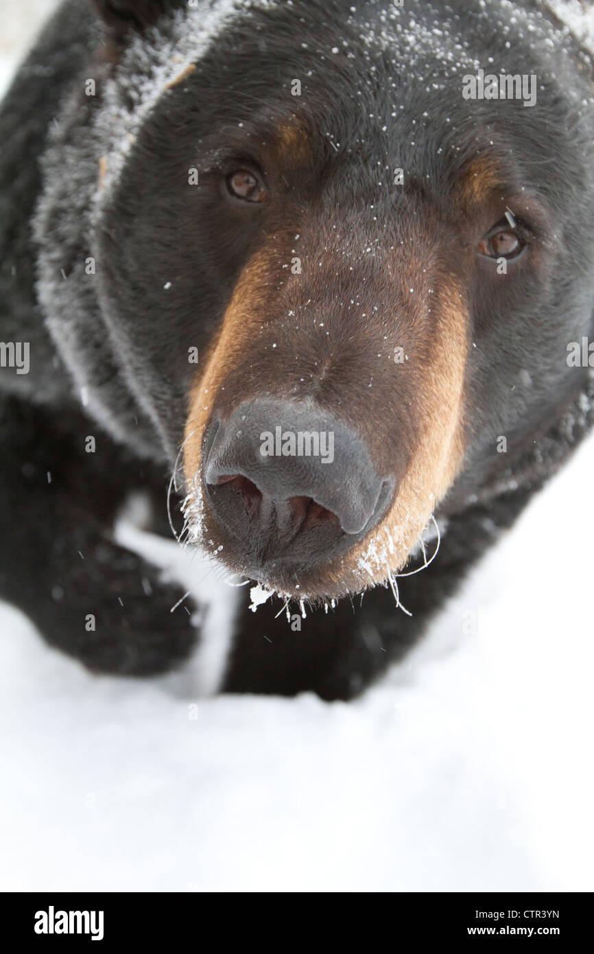 CAPTIVE: Elevato angolo portrait grandi Black Bear guardando verso l'alto Alaska Wildlife Conservation Centre Immagini Stock