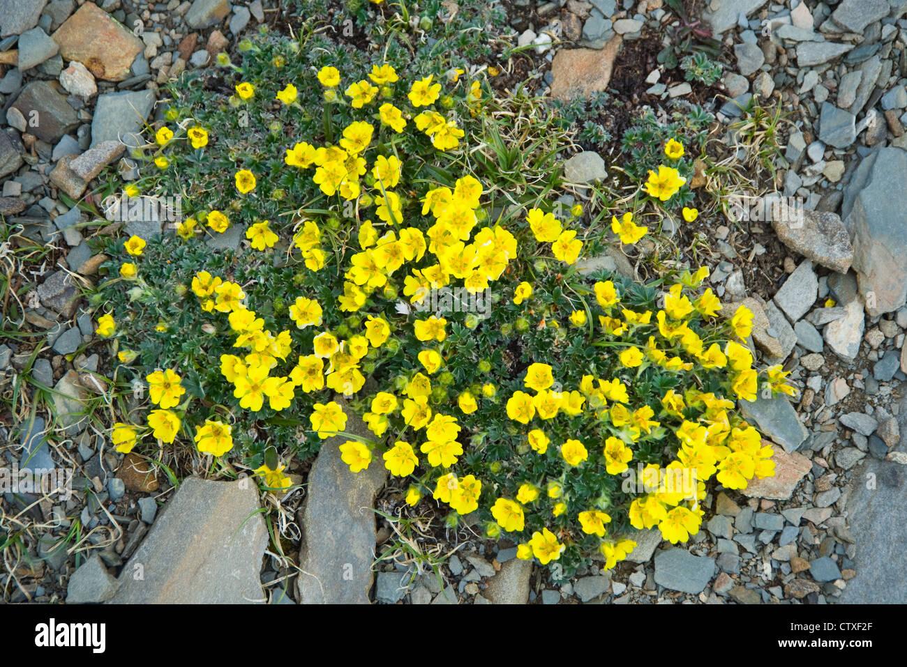 Fiori Gialli In Montagna.Fiori Gialli In Alta Montagna Elevata Del Parco Nazionale Di